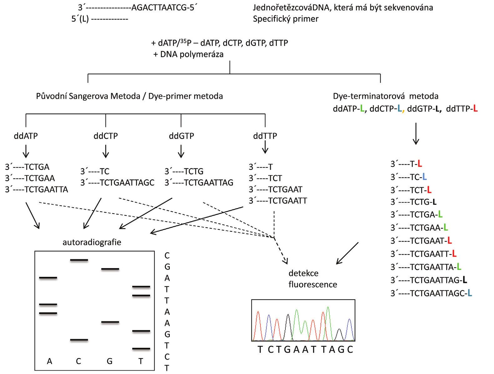 Schéma principu sekvenování Sangerovou metodou. Syntéza nového řetězce DNA probíhá ve směru 5´→3` za přítomnosti specifického primeru, jednotlivých deoxynukleotidů (dNTP), dideoxynukleotidů (ddNTP) a DNA polymerázy. V levé části je znázorněna Sangerova metoda s radioaktivním značením templátu nebo fluorescenčně značenými primery, kdy reakce probíhá ve čtyřech zkumavkách a sekvence je získaná po denaturační polyakrylamidové gelové elektroforéze (PAGE). V pravé části je znázorněna tato metoda s fluorescenčním značením ddNTP (L = label-značka), kdy reakce probíhá v jedné zkumavce a sekvence je získána po kapilární elektroforéze (15).