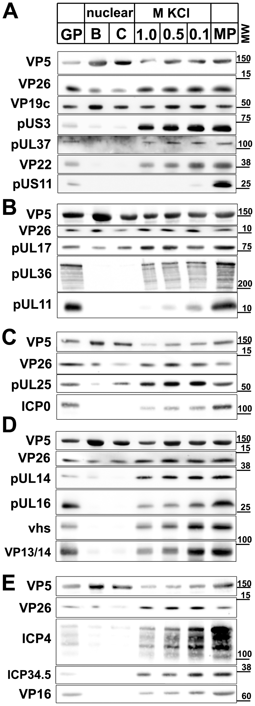 Immunoblot characterization of nuclear and viral HSV1 capsids.