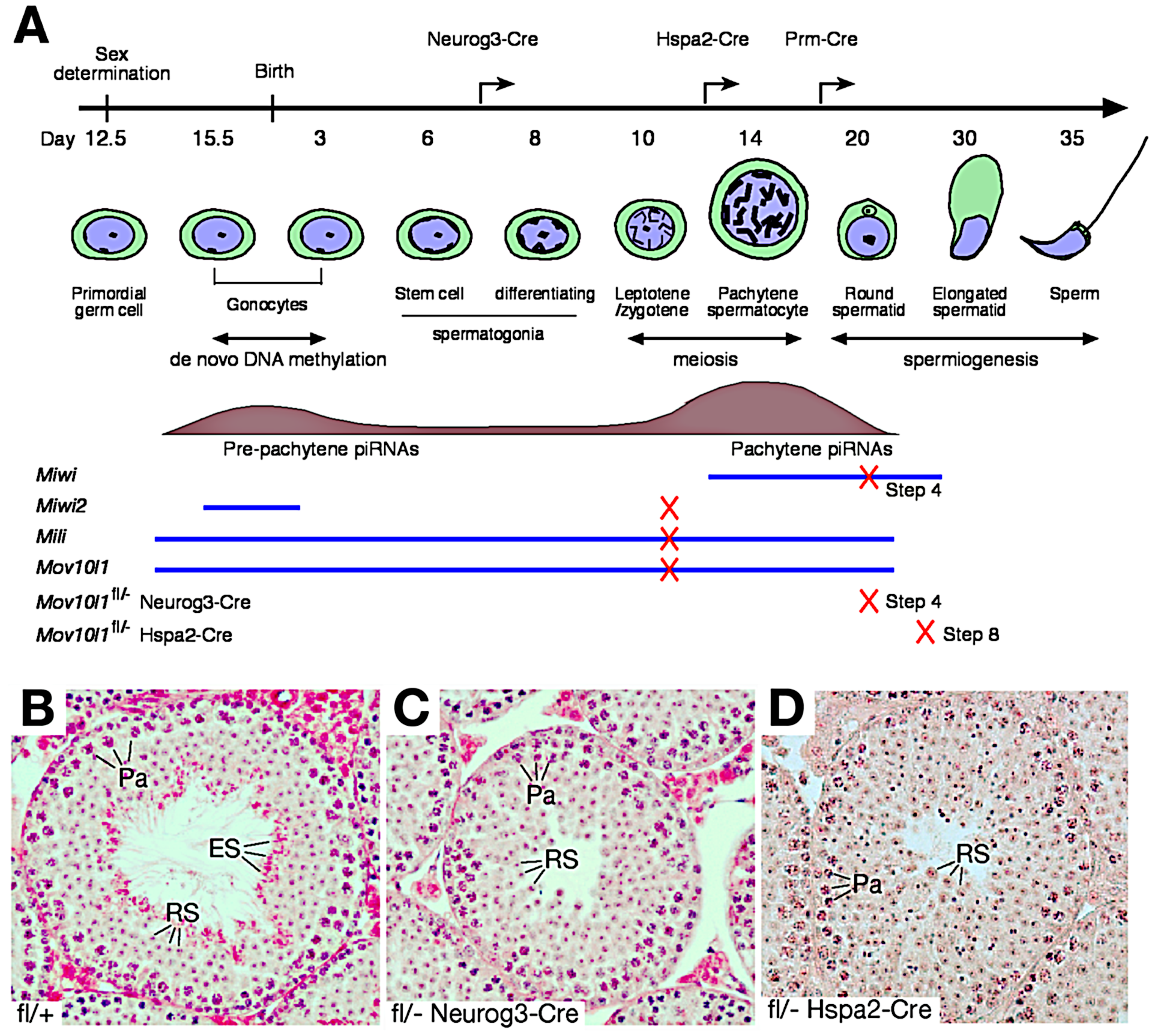 Post-natal disruption of <i>Mov10l1</i> leads to post-meiotic spermiogenic arrest.
