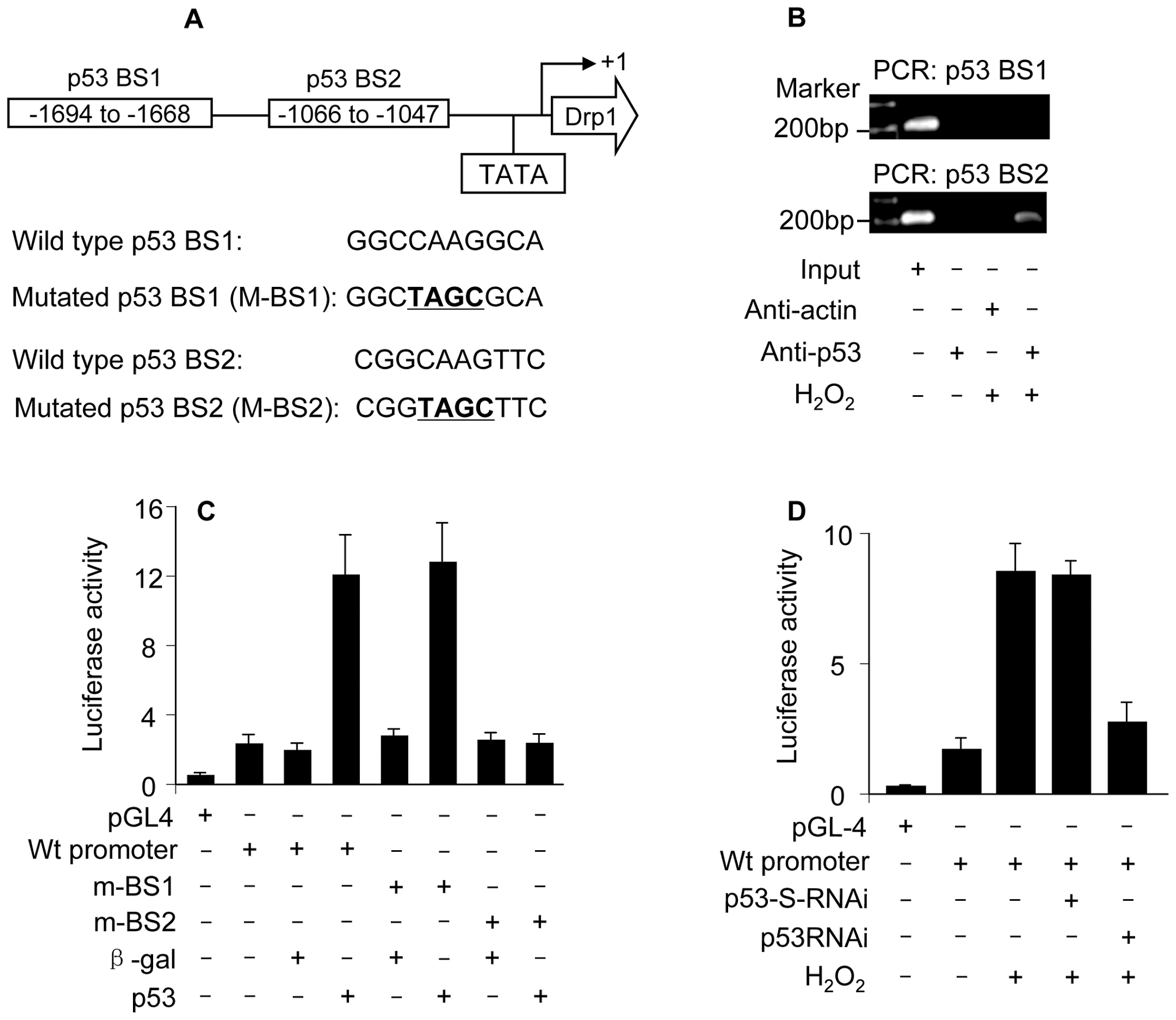 p53 binds to and activates Drp1 promoter.