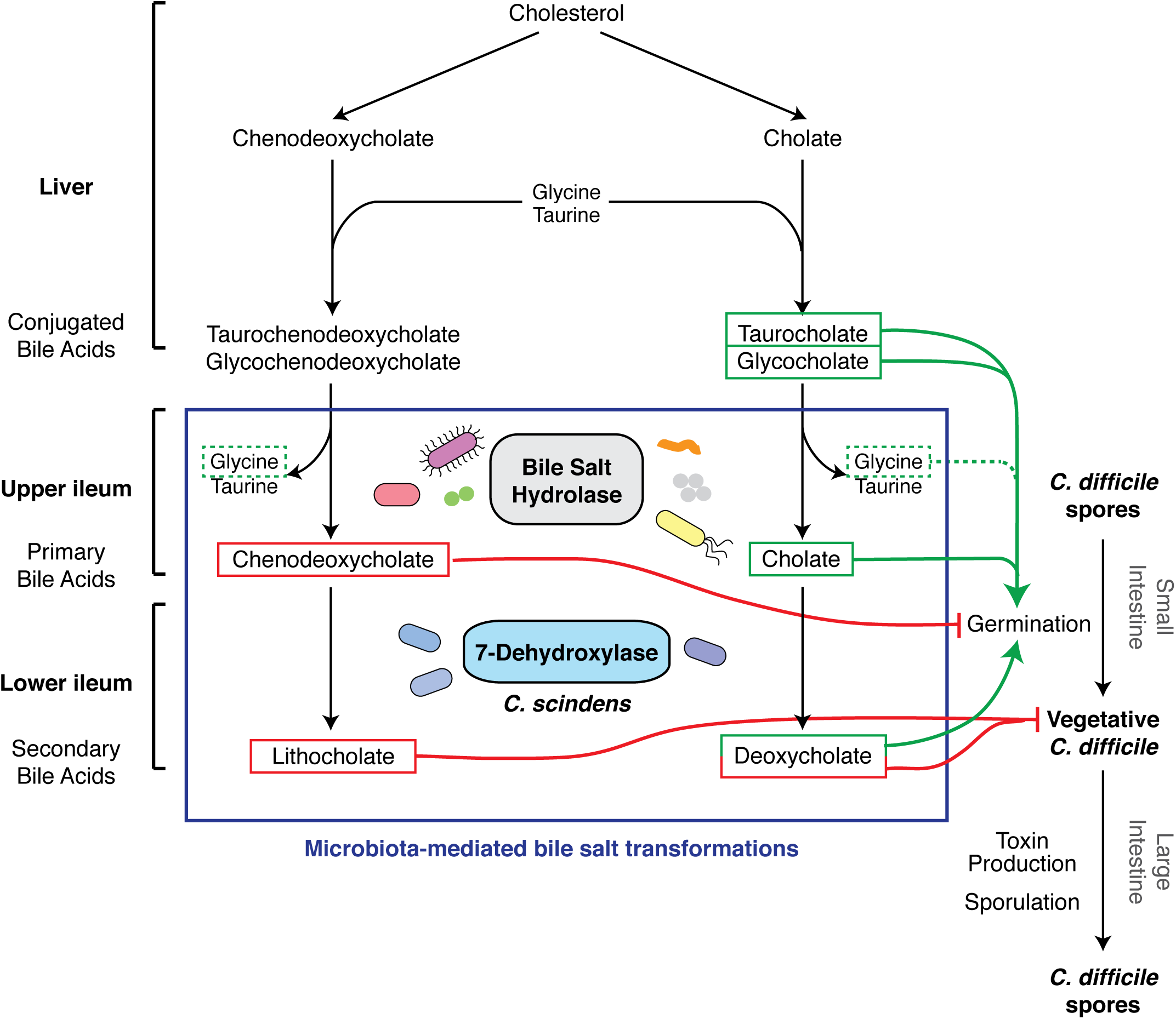 Effect of bile acid metabolism on the developmental life cycle of <i>C</i>. <i>difficile</i>.