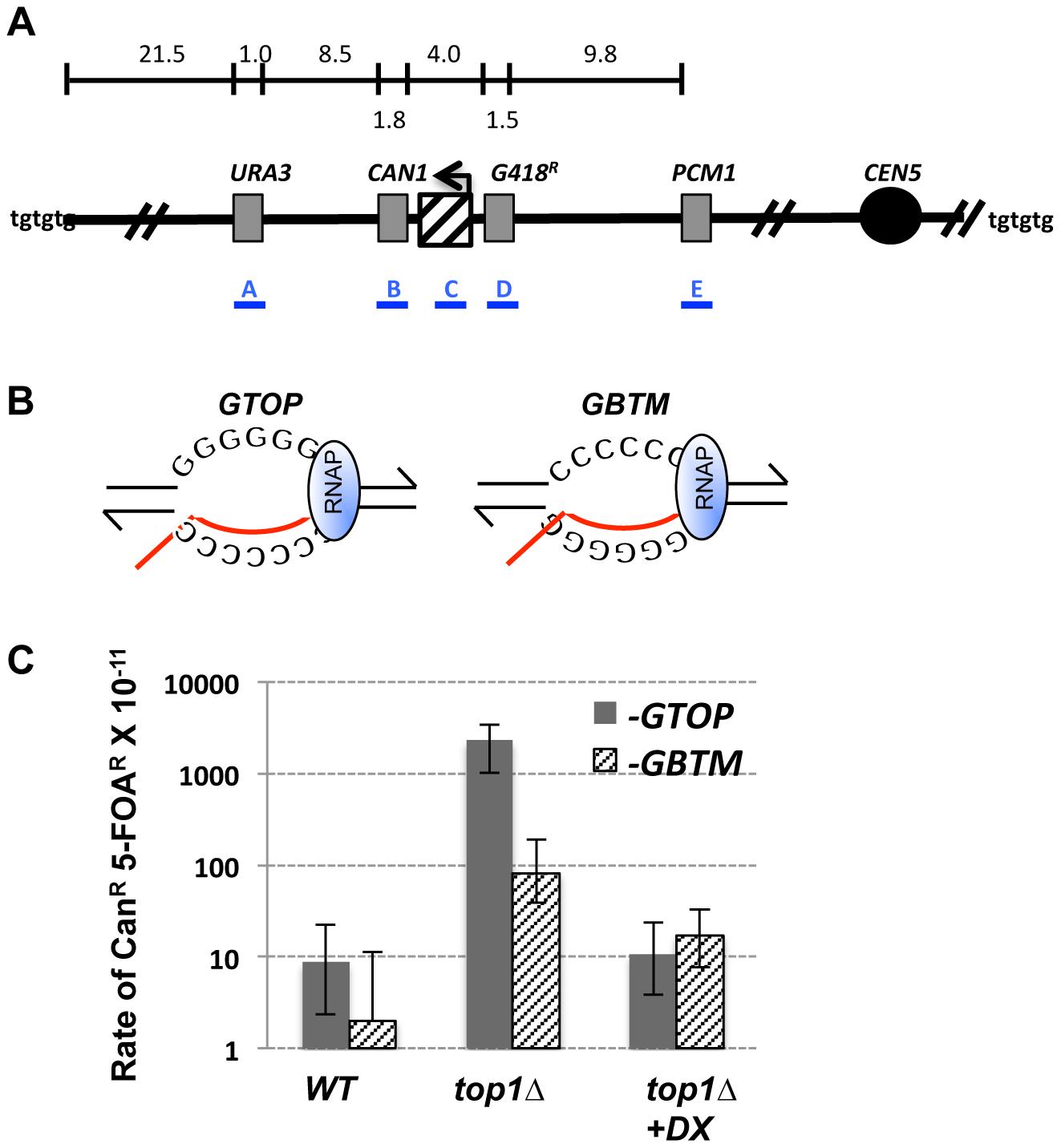 Gross Chromosomal Rearrangement (GCR) assay.
