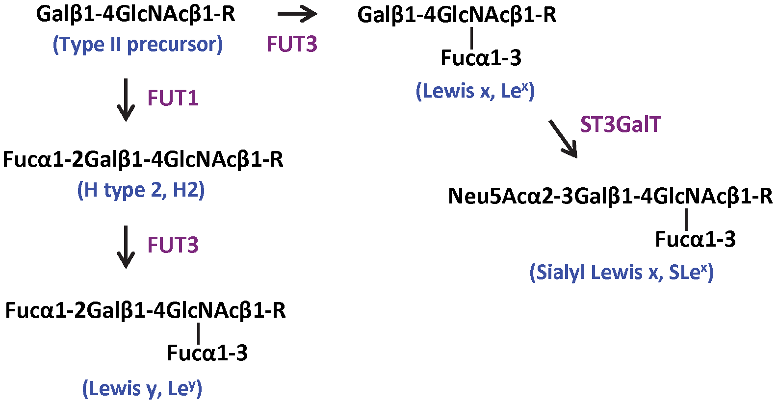 Biosynthesis pathways of Lewis y and sialyl Lewis x starting from the type II precursor (Galβ1–4GlcNAcβ1-R).