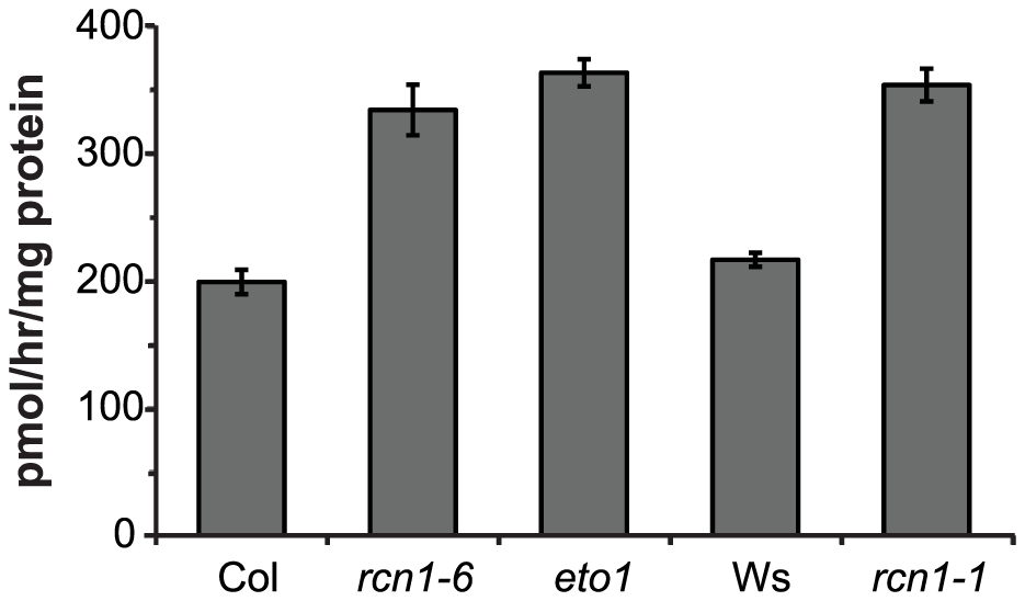 ACS enzymatic activity is increased in <i>rcn1</i> mutant seedlings.
