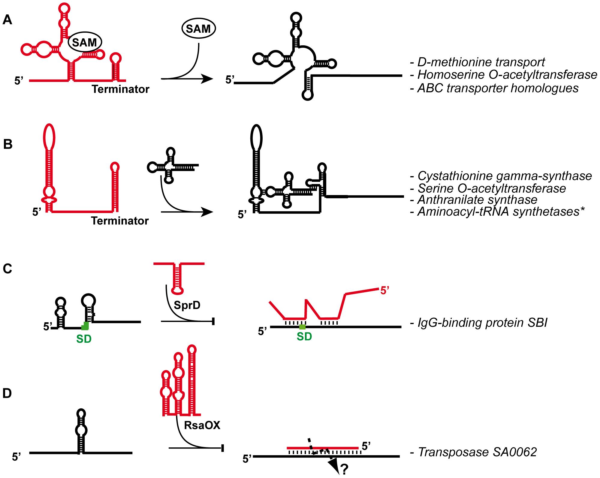 General mechanisms given for several <i>S. aureus</i> regulatory RNAs.