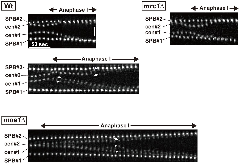 Centromere dynamics during anaphase I in <i>mrc1</i> and <i>moa1</i> mutants.