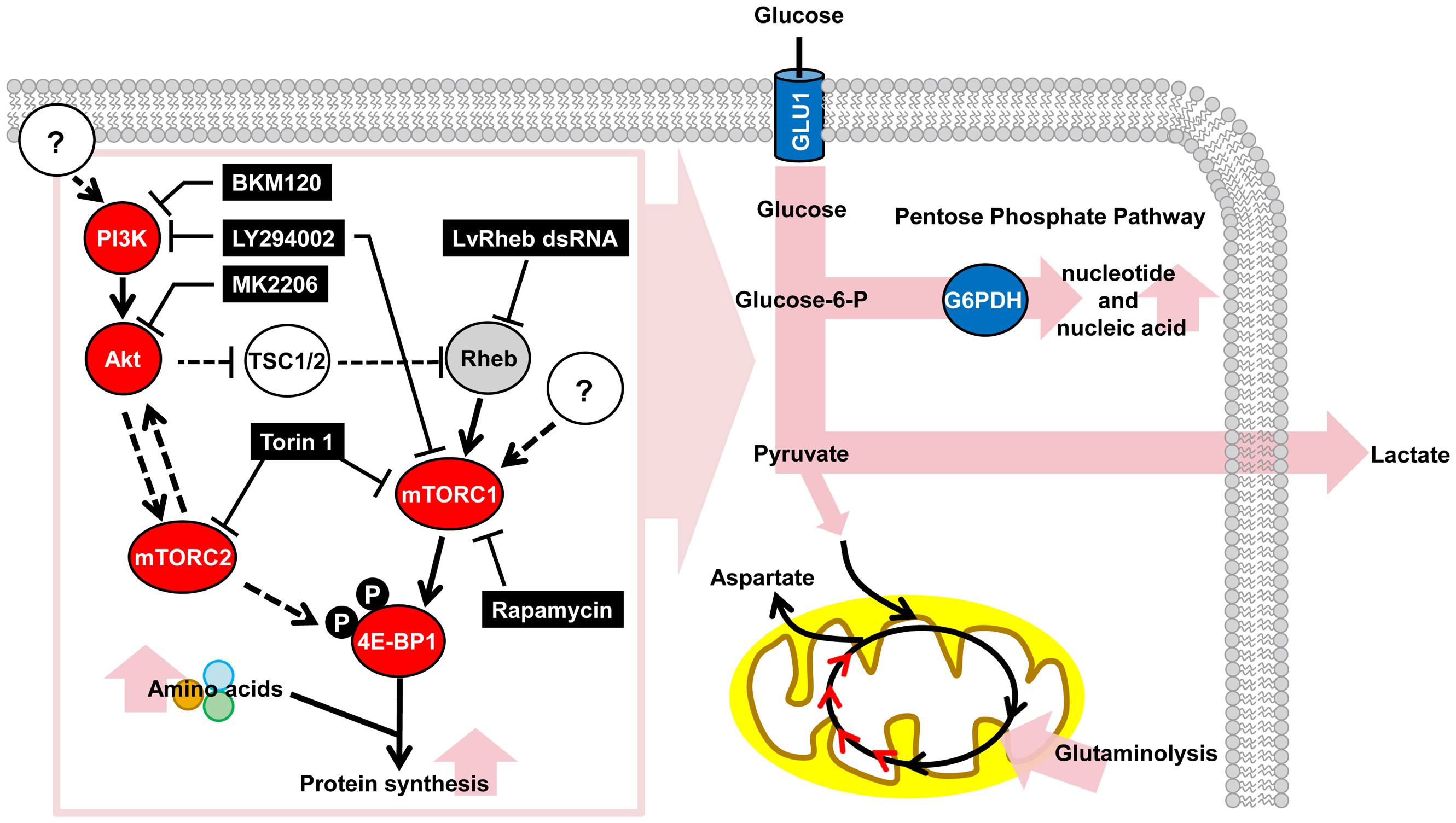 Schematic representation of the WSSV-induced Warburg effect and the involvement of the PI3K-Akt-mTOR pathway at the viral genome replication stage (12 hpi) of the first WSSV replication cycle.