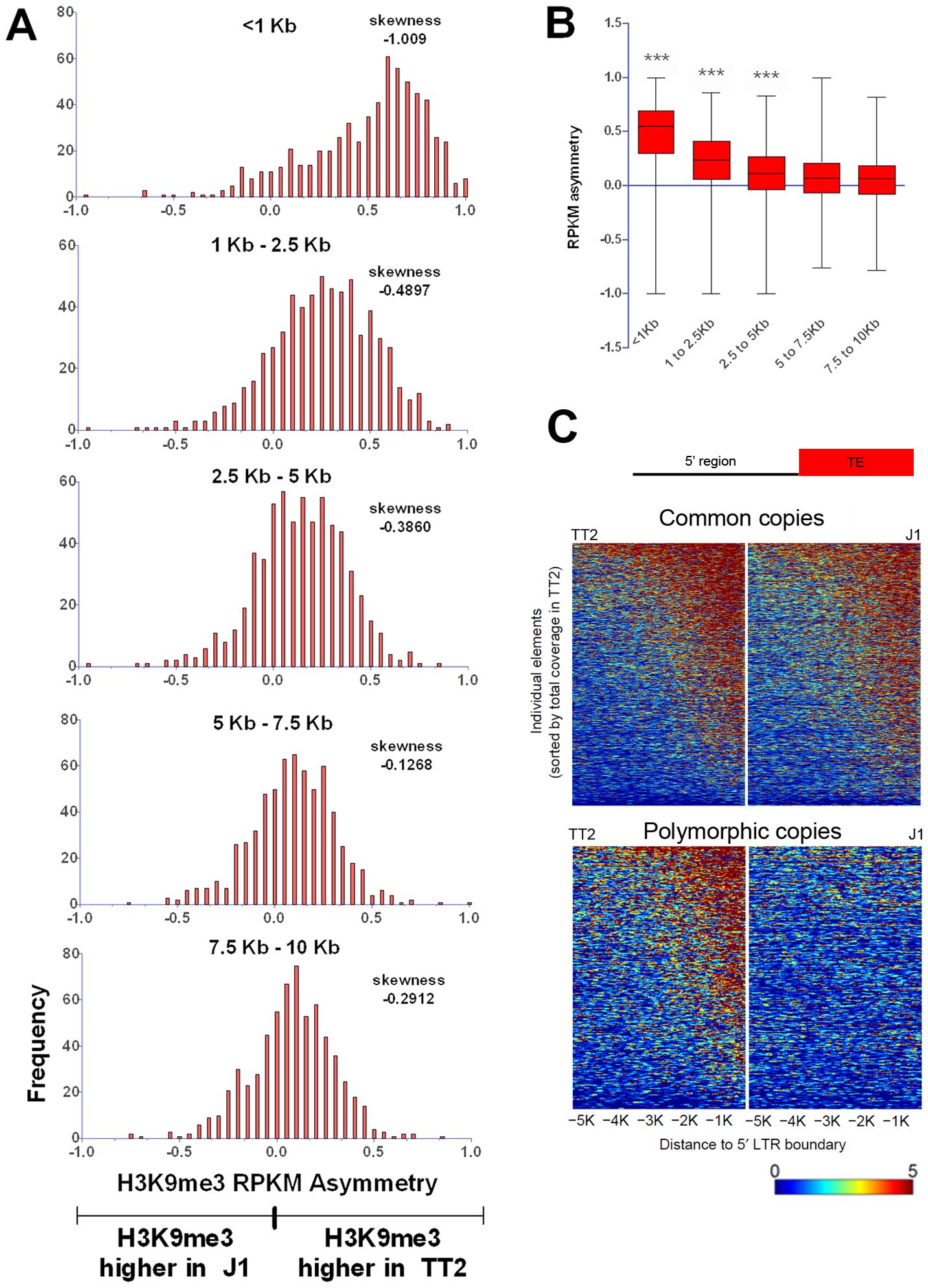 Length of polymorphic IAP-induced H3K9me3 chromatin.