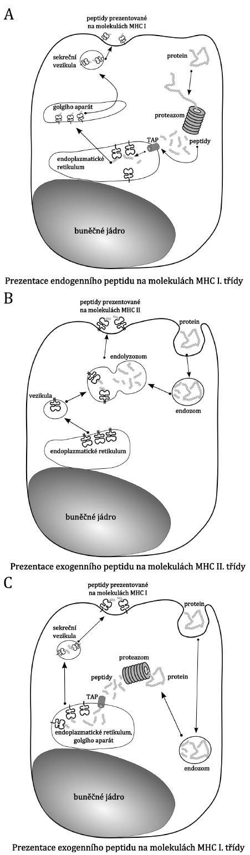 Prezentace antigenního peptidu na molekulách MHC. Příklad prezentace na antigenech MHC I. třídy (A), na antigenech MHC II. třídy (B) a cross prezentace (C). Popis a vysvětlení schémat je v textu.