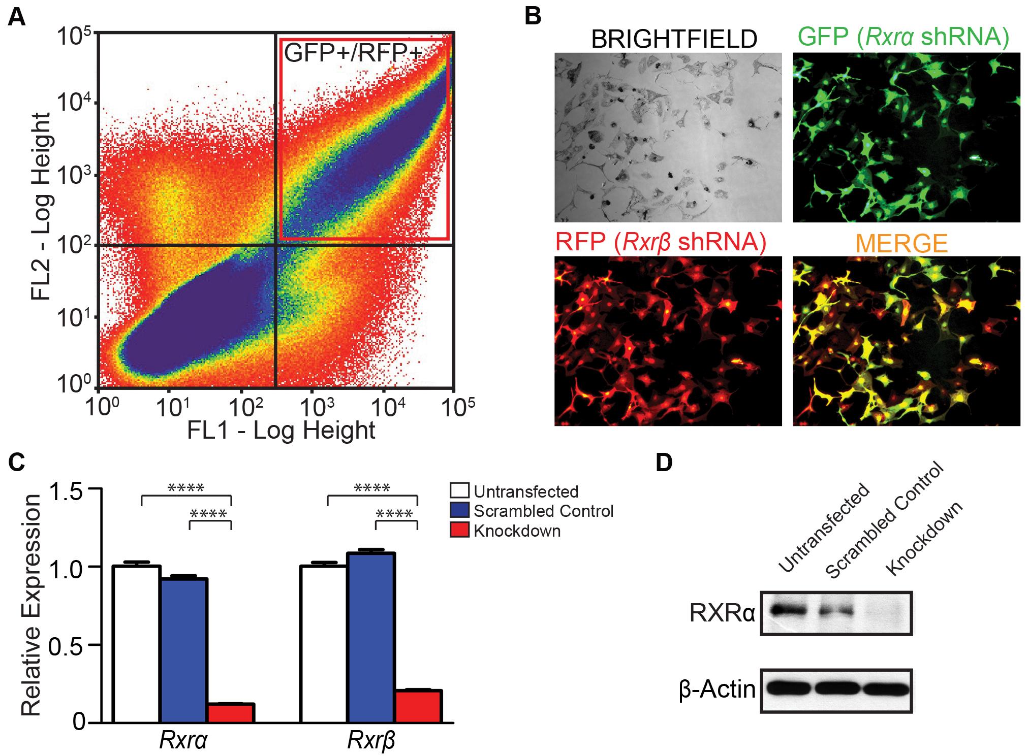 Generation of <i>Rxrα/Rxrβ</i> double knockdown murine melanocytes.