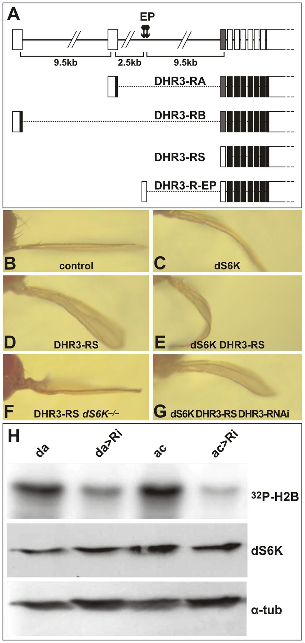 DHR3 regulates dS6K activity.