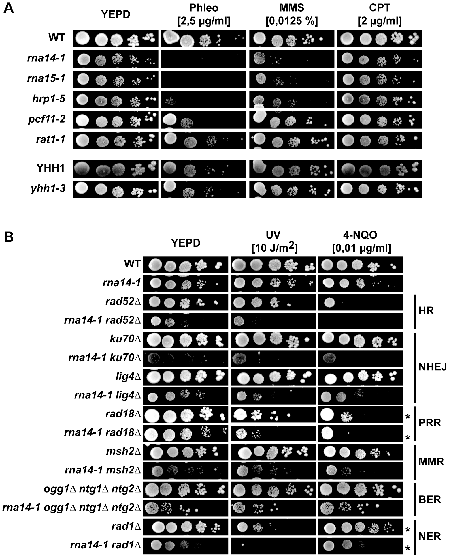 Transcription termination mutants do not tolerate compromised DNA repair.