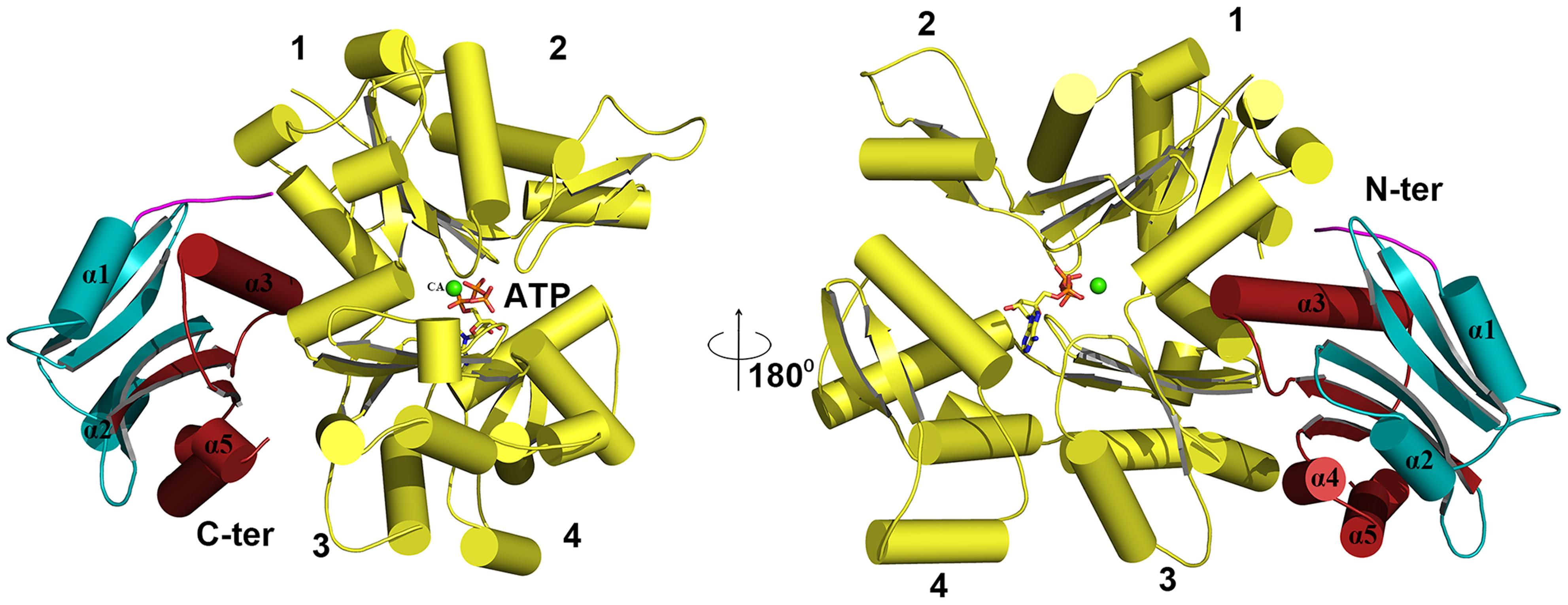 Modelling of G-actin-EhCoactosin complex.