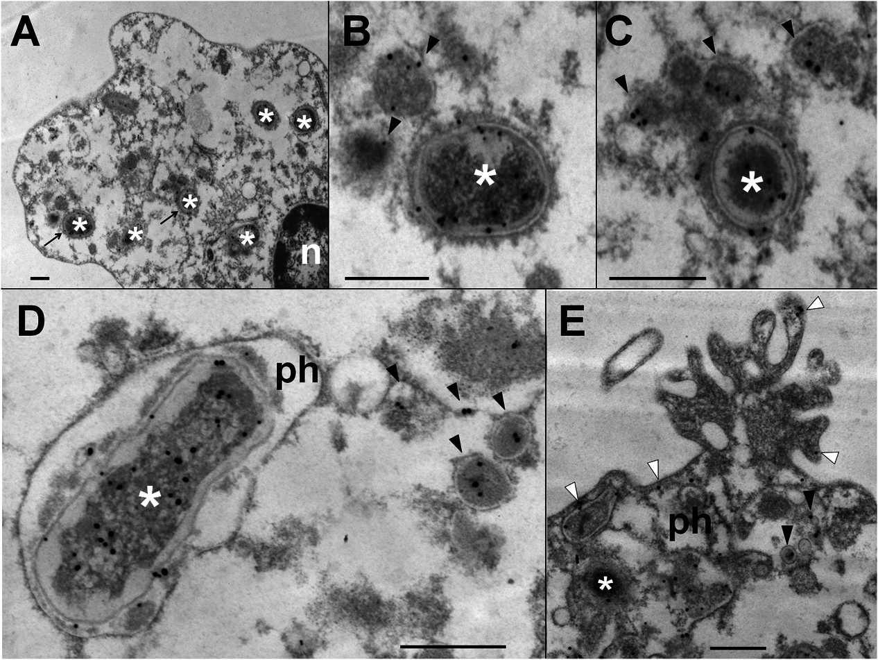 <i>Br-</i>LPS released inside cells is mostly found within vacuolar compartments of PMNs.