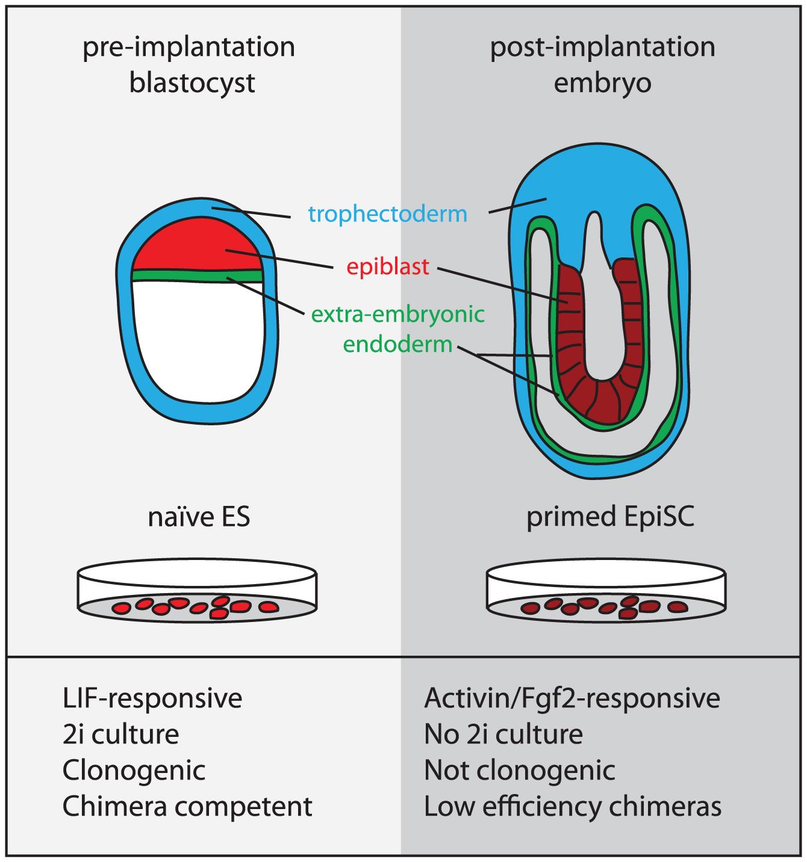 The origin and properties of naïve and primed pluriopotent stem cells.