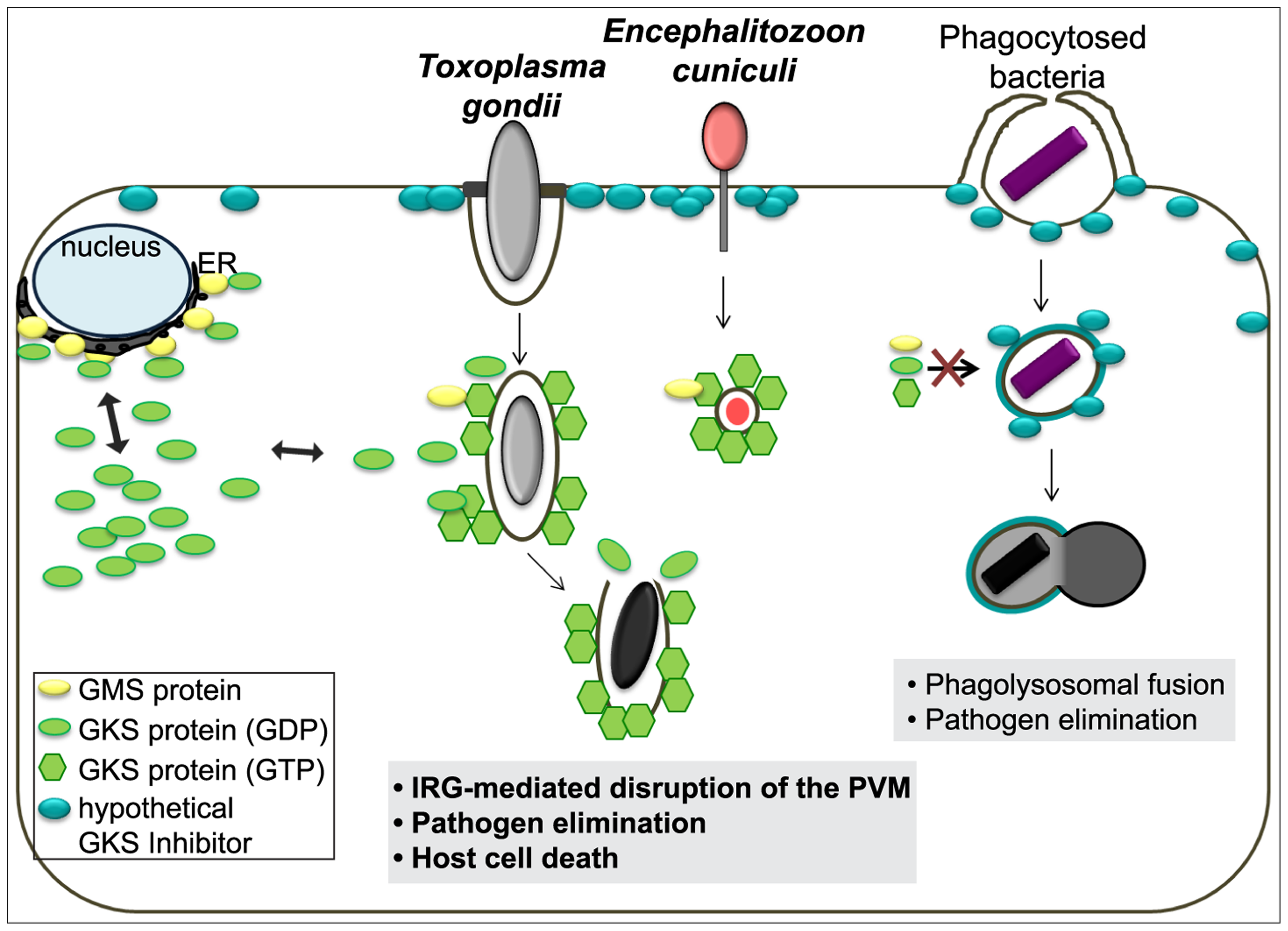 Scheme of the IRG resistance system and its target organisms.