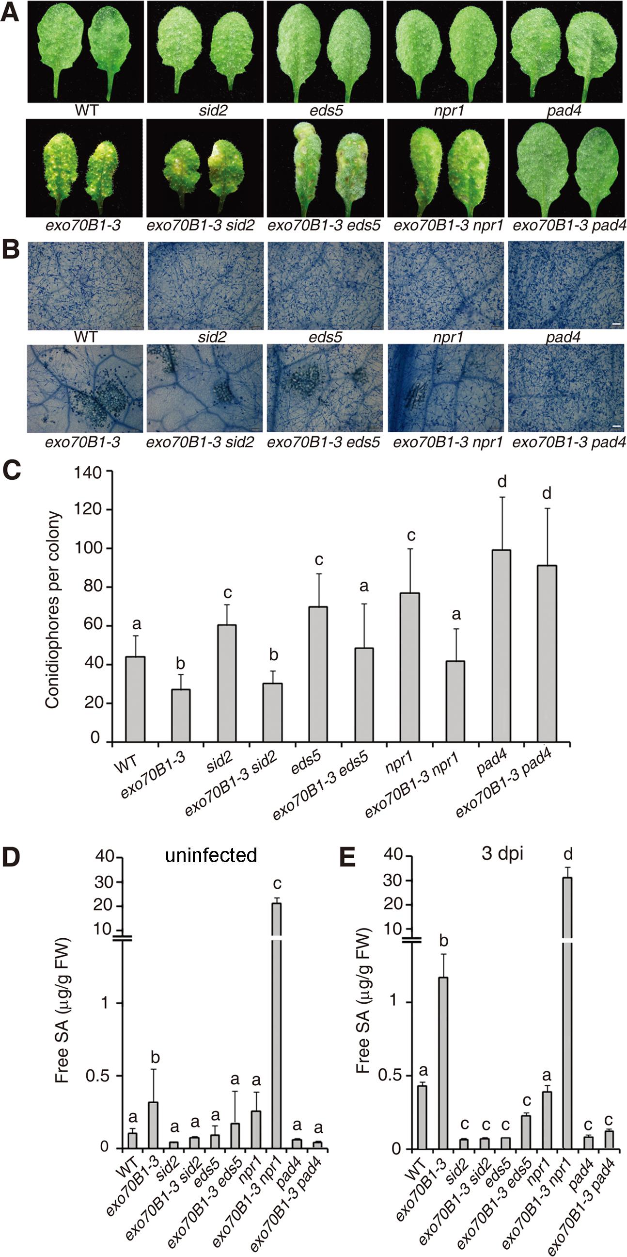 The <i>exo70B1-3</i> mutants accumulate high levels of SA and their enhanced resistance to <i>G. cichoracearum</i> requires <i>EDS5, NPR1</i> and <i>PAD4</i>.