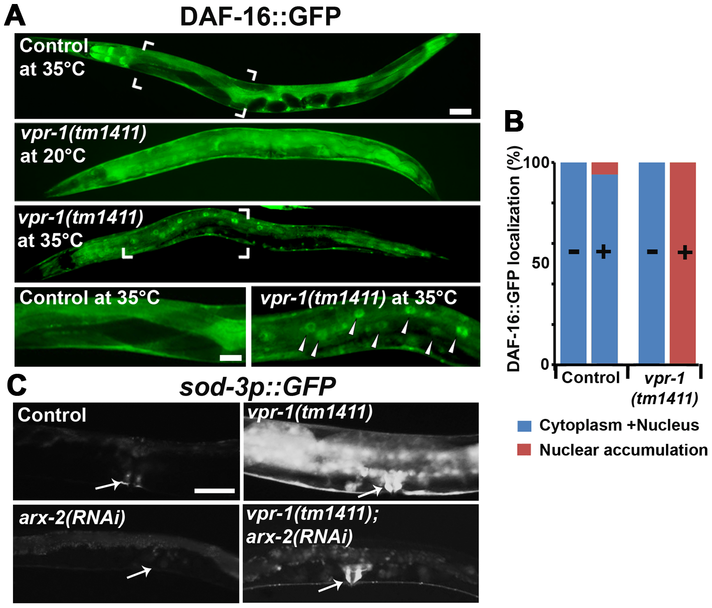 DAF-16 localization and activity in wild-type and mutant worms.