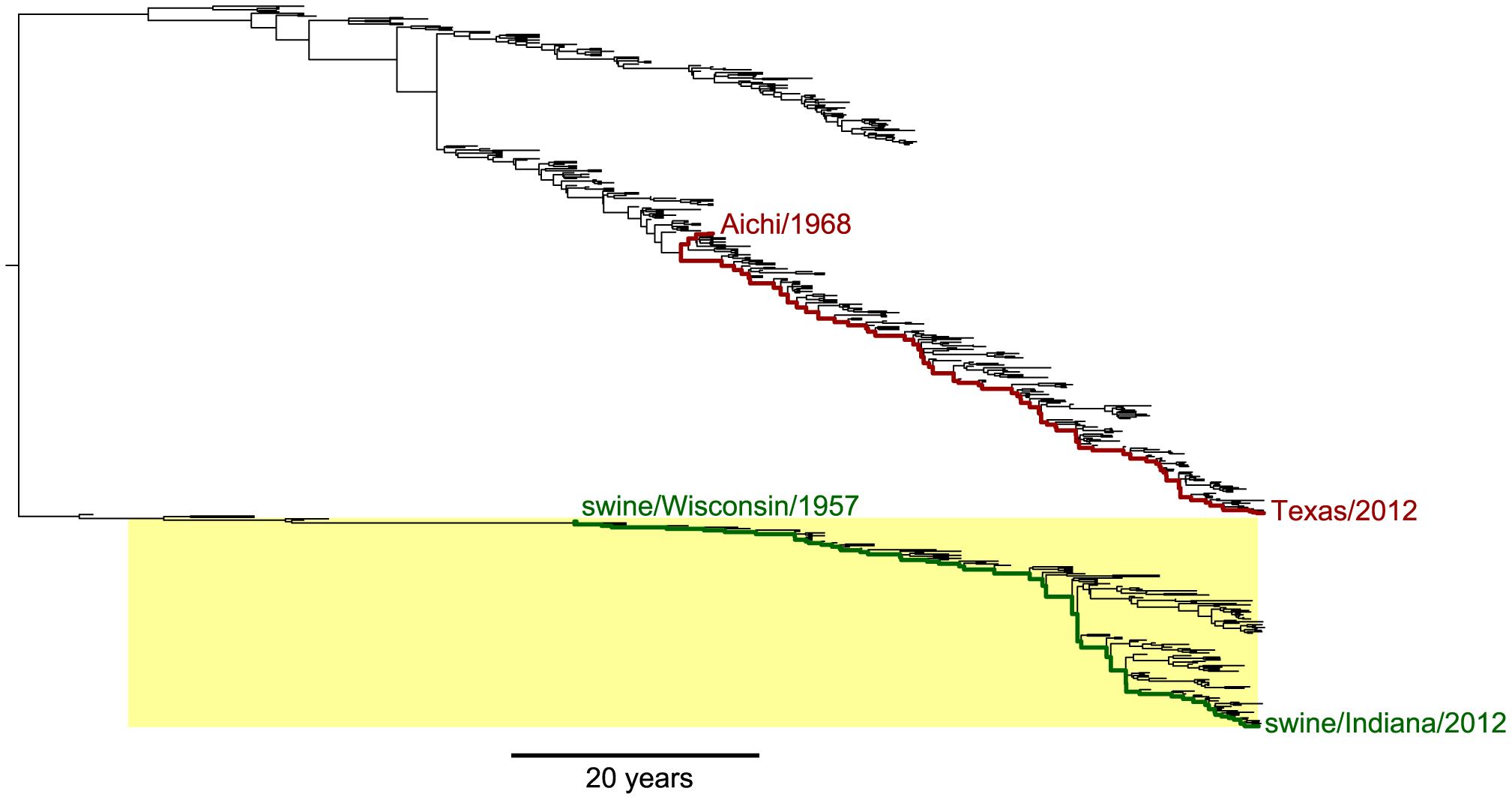 Phylogenetic tree of human and swine NP homologs.