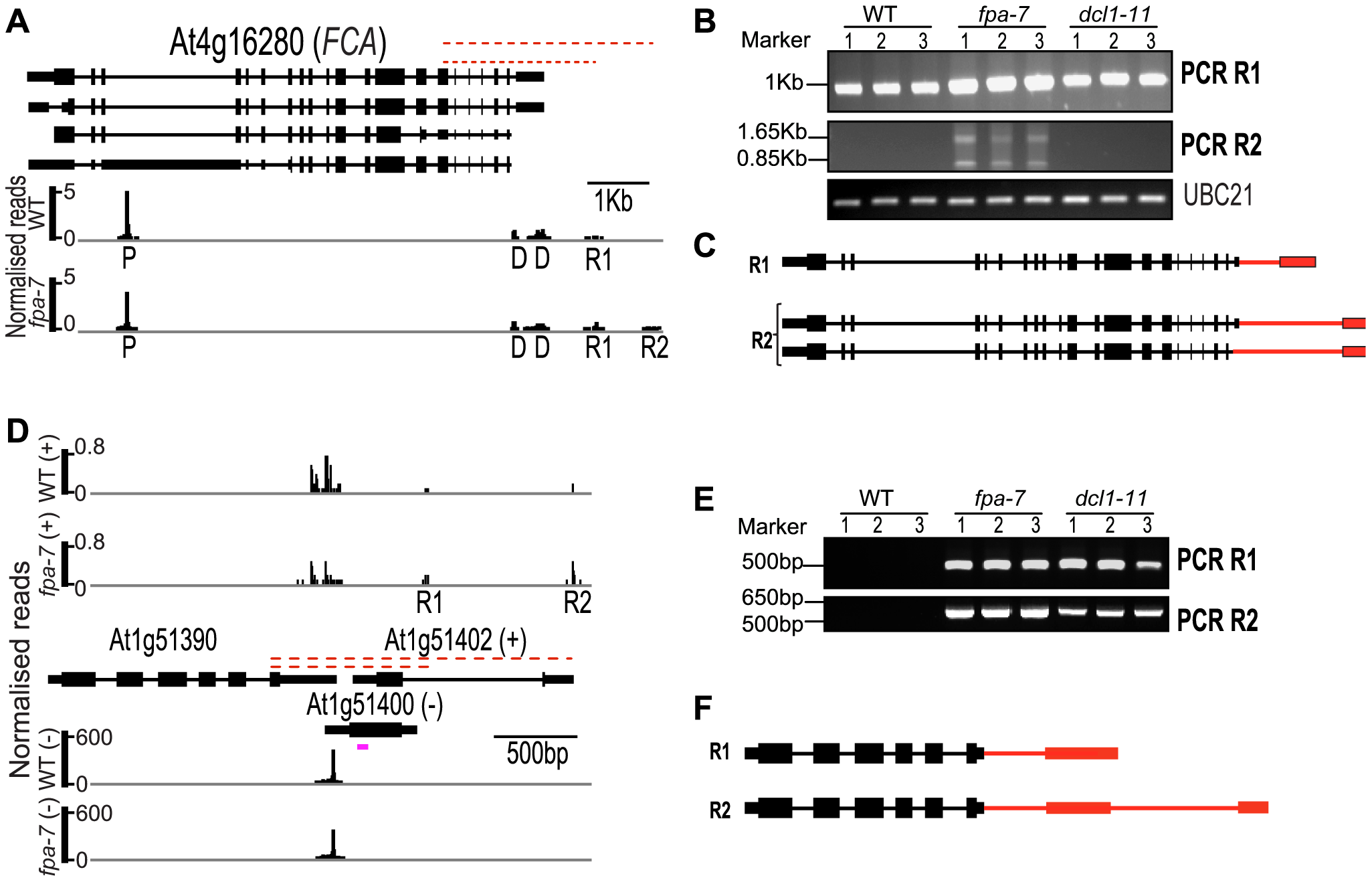Characterisation of intergenic read-through RNAs in <i>fpa</i> and <i>dc11</i> mutants.