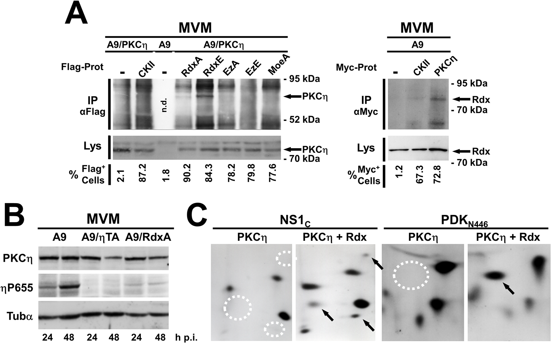 Rdx interacts with PKCη and controls its activity and substrate specificity.