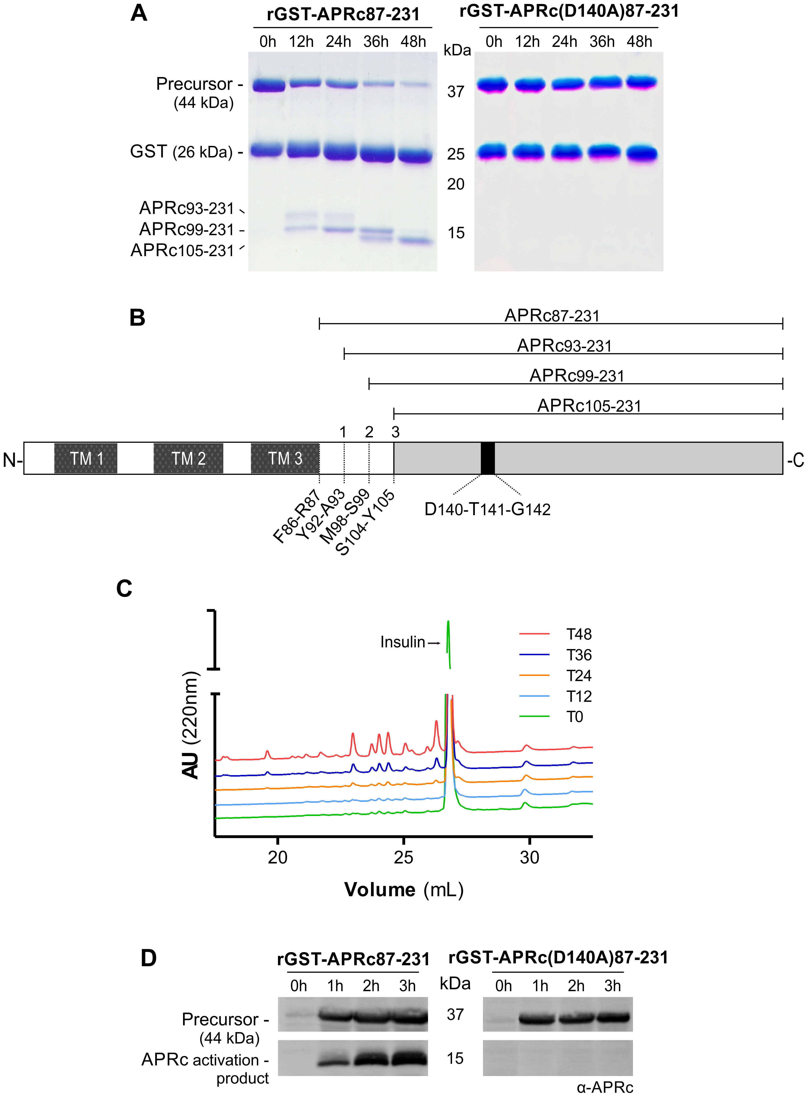 The recombinant soluble catalytic domain of APRc displays autoprocessing activity dependent on the catalytic aspartate residue.