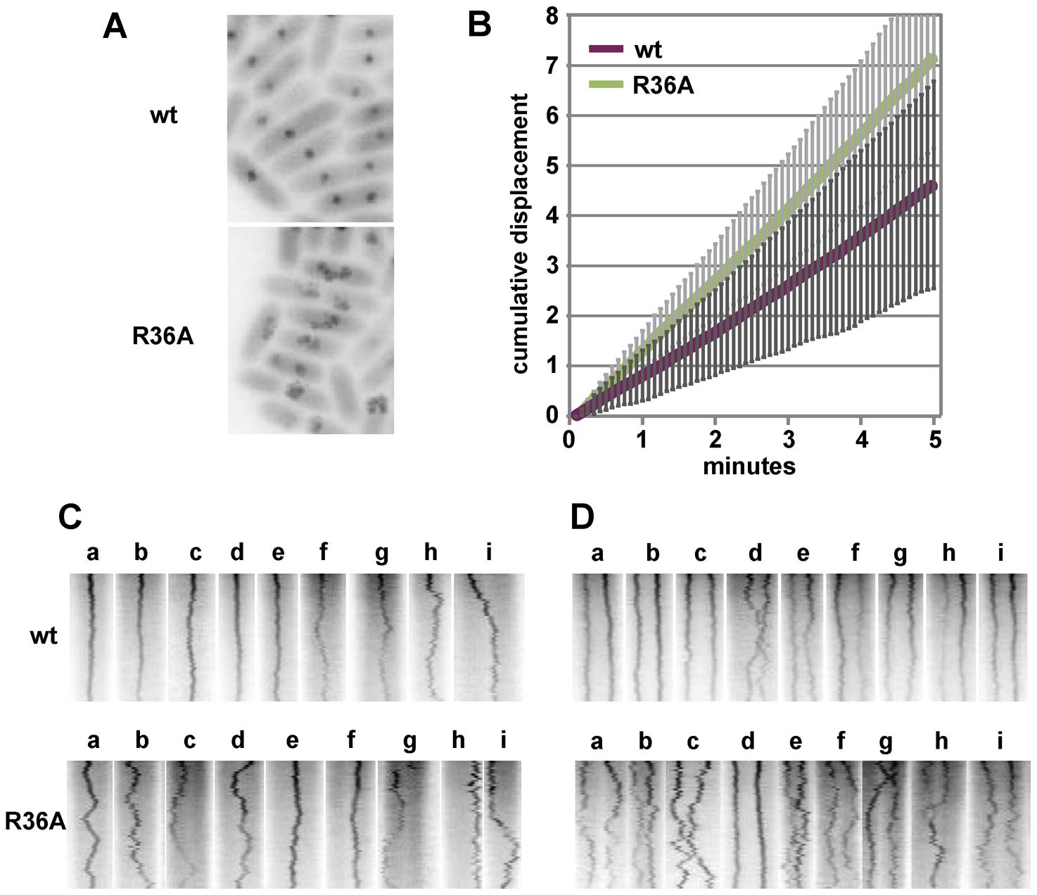 Effect of R36A mutation on mini-F movement.