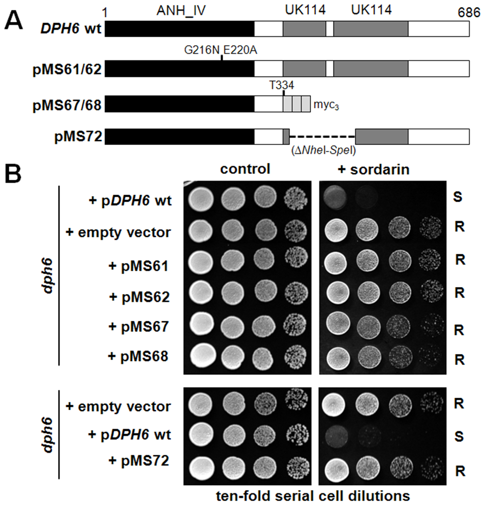 Both the Alpha_ANH_like_IV and YjgF-YER057c-UK114 domains in Dph6 are essential for its functionality.