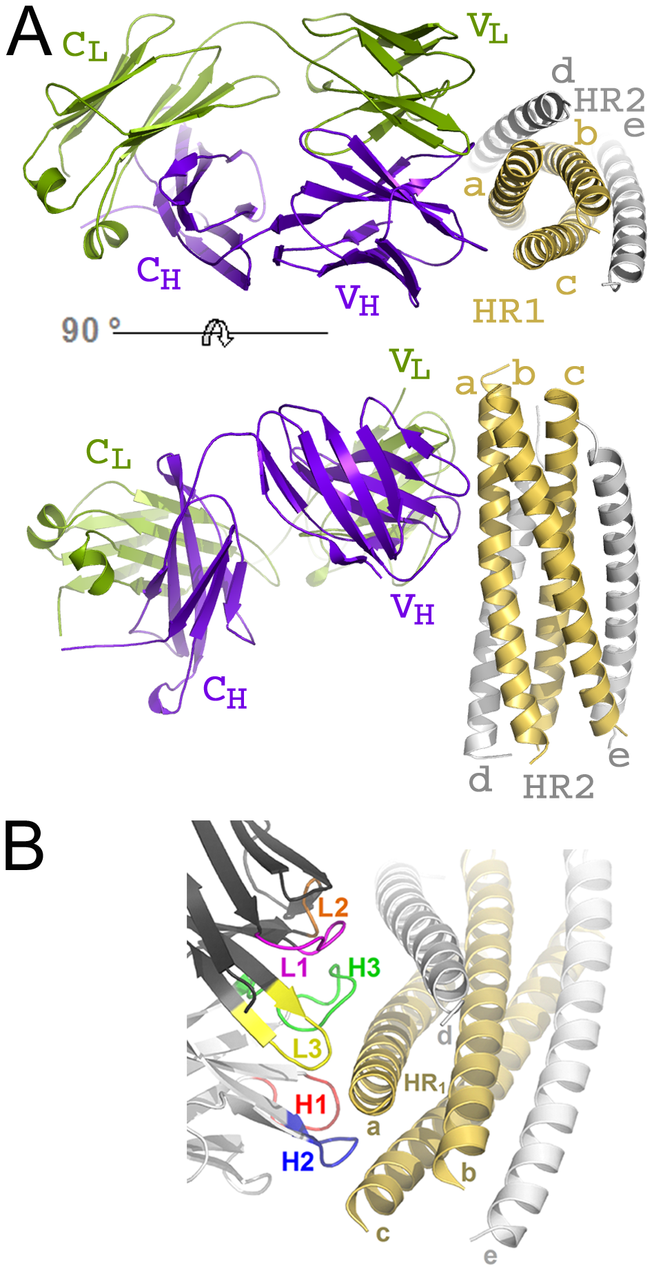 HK20 Fab binds to a conserved epitope on gp41 HR1.