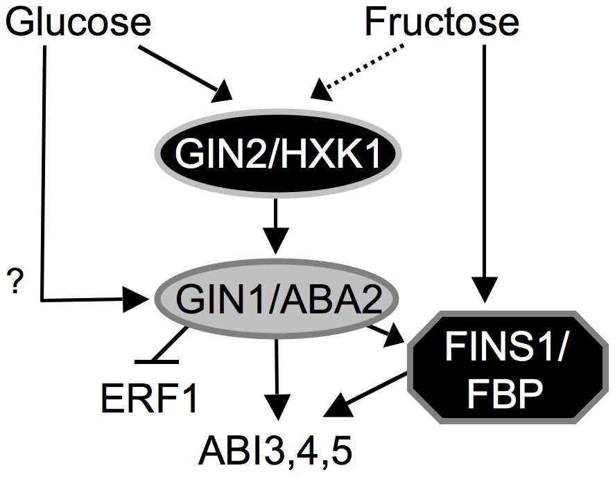 Working model of hexose signaling network during <i>A. thaliana</i> early seedling development.