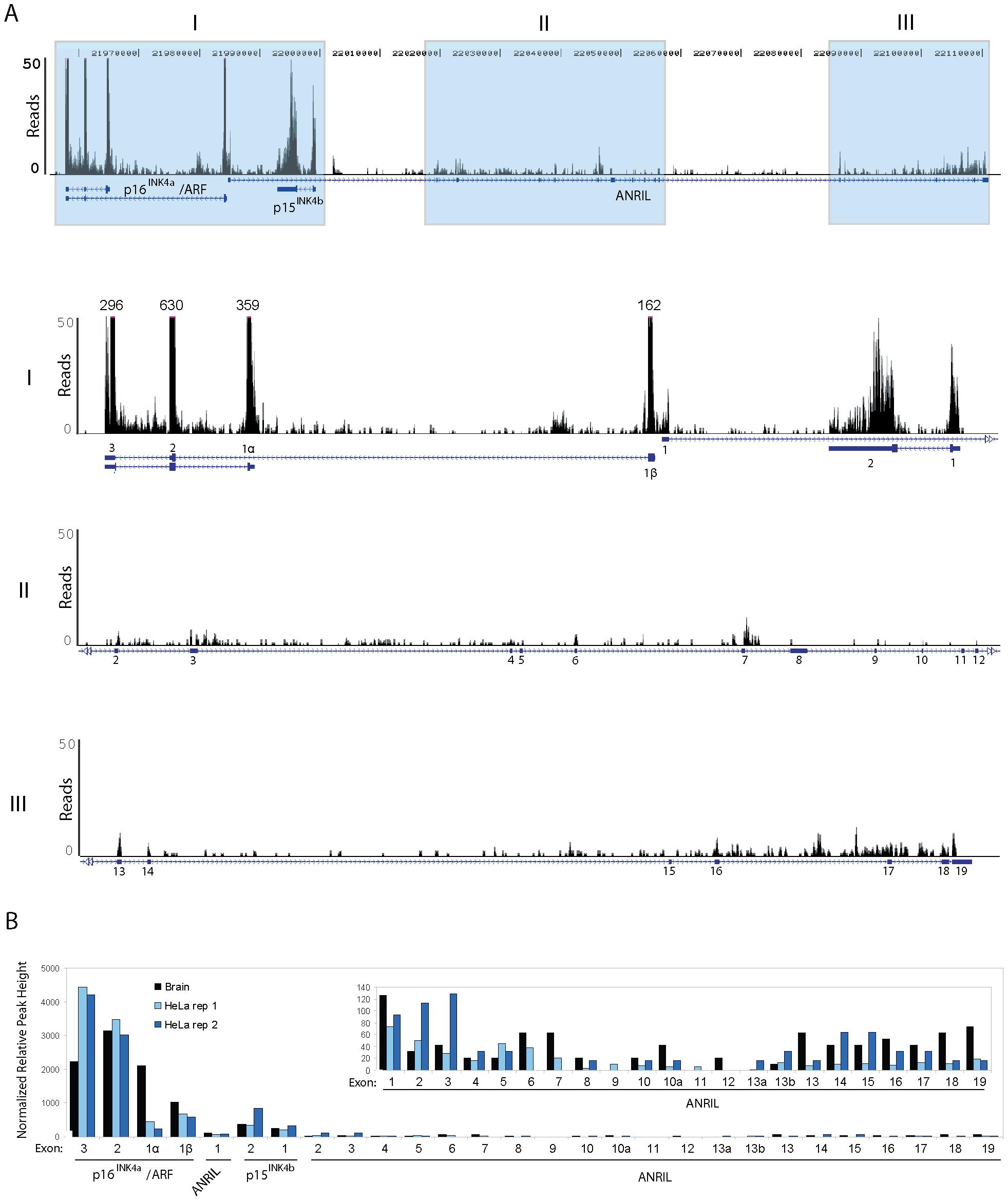 RNA Sequencing of <i>ANRIL</i> transcripts.