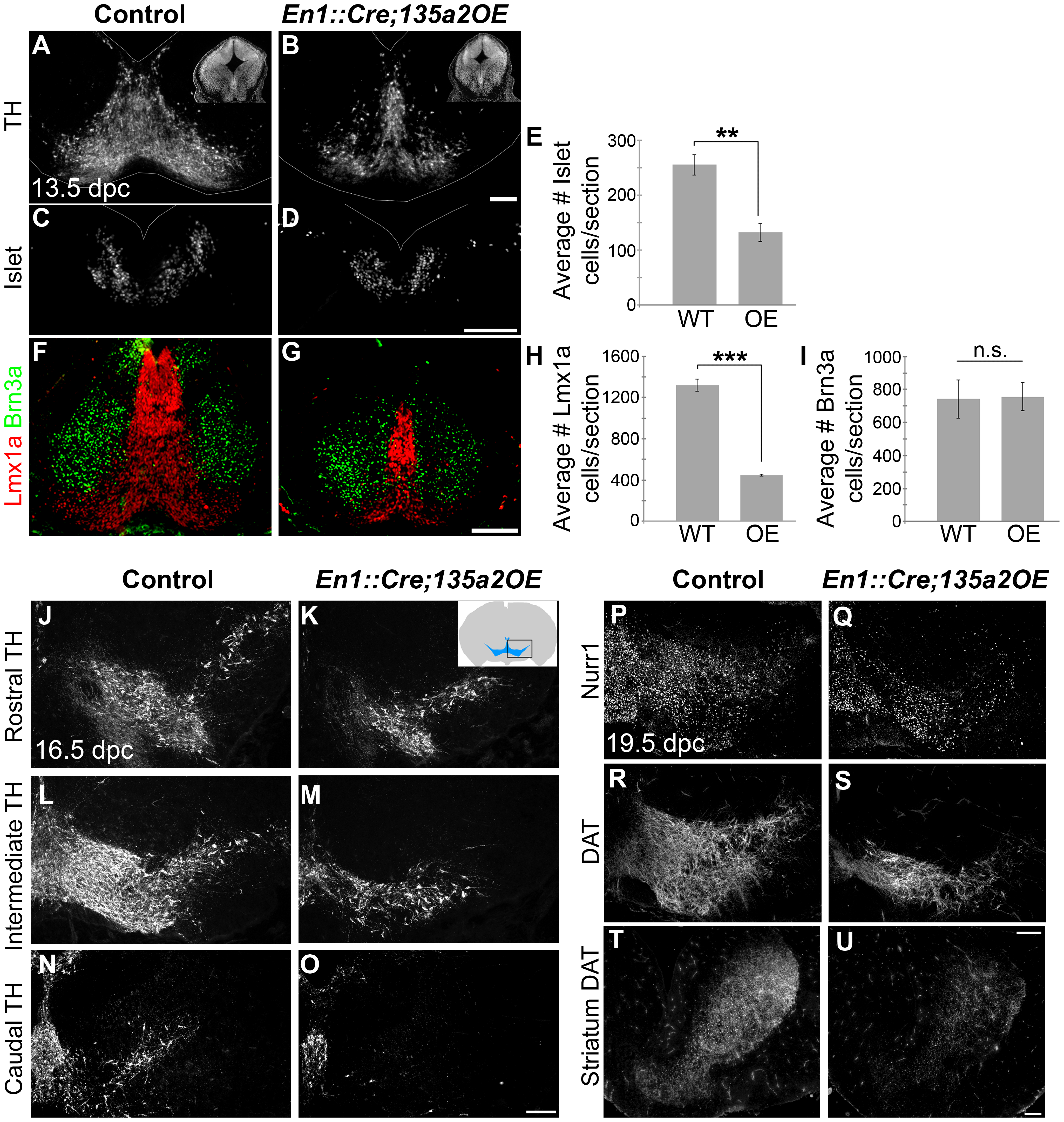 Reduced numbers of mDAs in <i>En1::Cre;135a2OE</i> embryos.