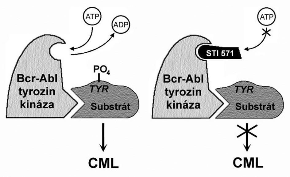 Mechanismus působení imatinibu. BCR-ABL tyrozinkináza váže ATP a transferuje fosfát z ATP na tyrozinová rezidua různých substrátů, čímž mění jejich konformaci, a tím i funkci. Blokování místa pro navázání ATP blokuje i tyrozinkinázovou aktivitu. Upraveno podle O'Dwyer a Druker (3).