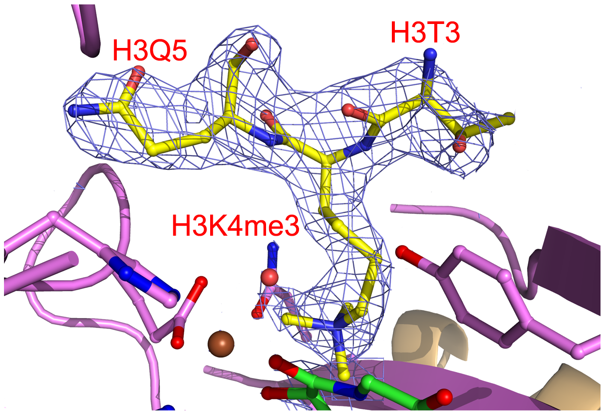 Electron density of bound H3K4me3.