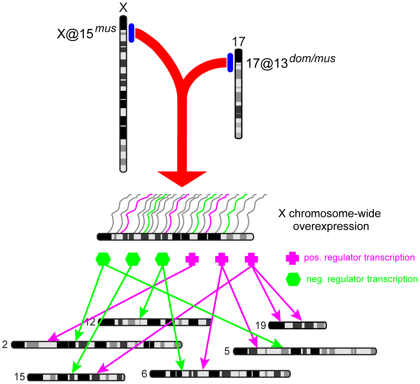 Model of genome-wide expression effects caused by X-17 interaction.