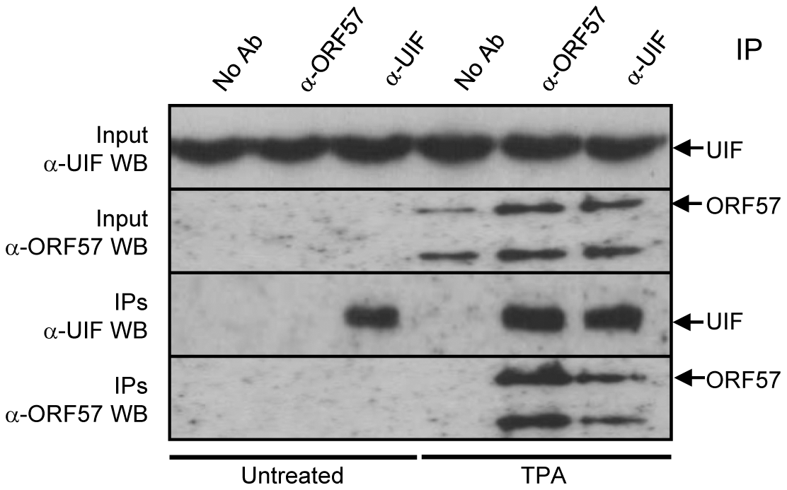ORF57 interacts directly with UIF during KSHV lytic replication.