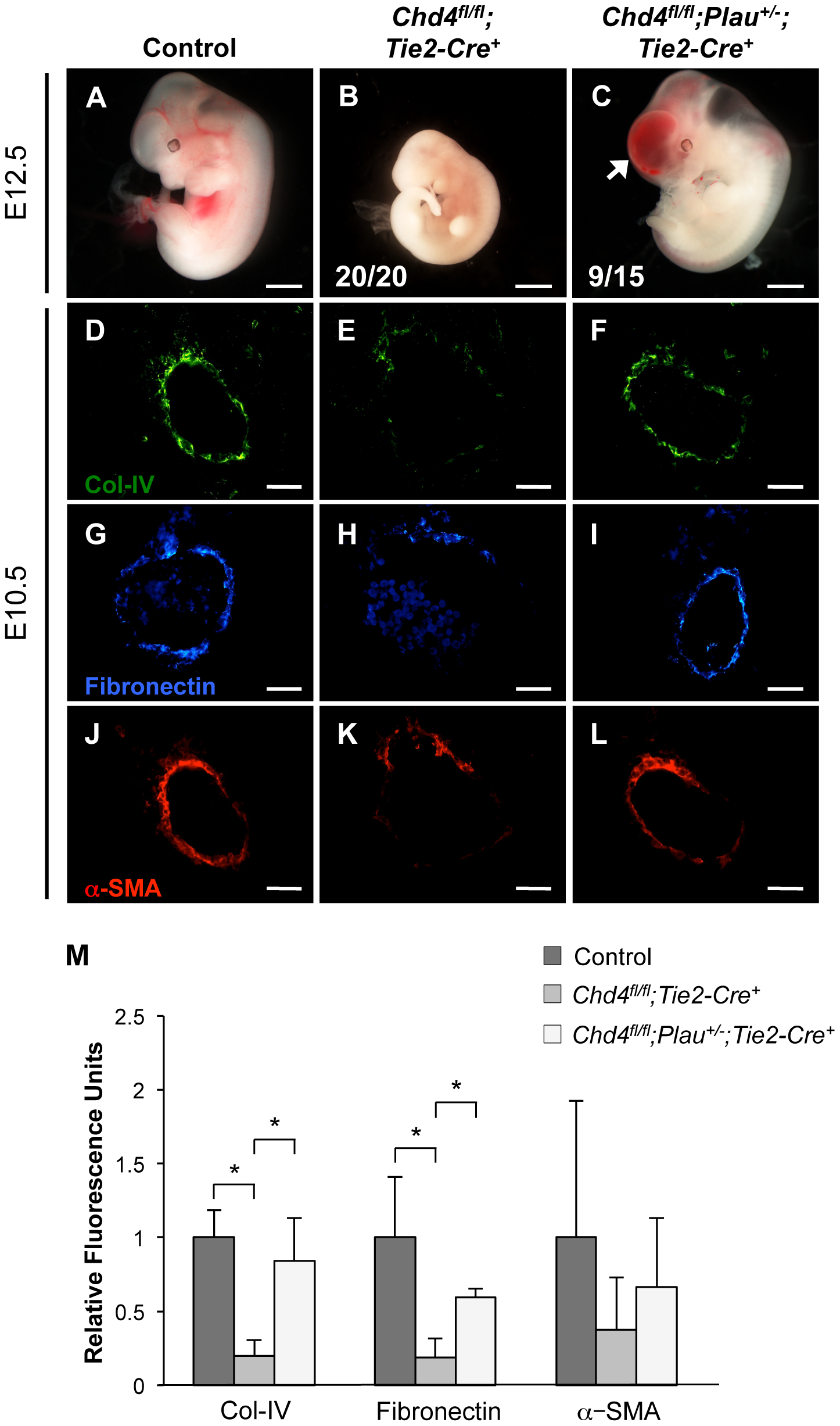 Genetic reduction of urokinase restores ECM components and partially rescues vascular rupture in <i>Chd4<sup>fl/fl</sup>;Tie2-Cre<sup>+</sup></i> embryos.