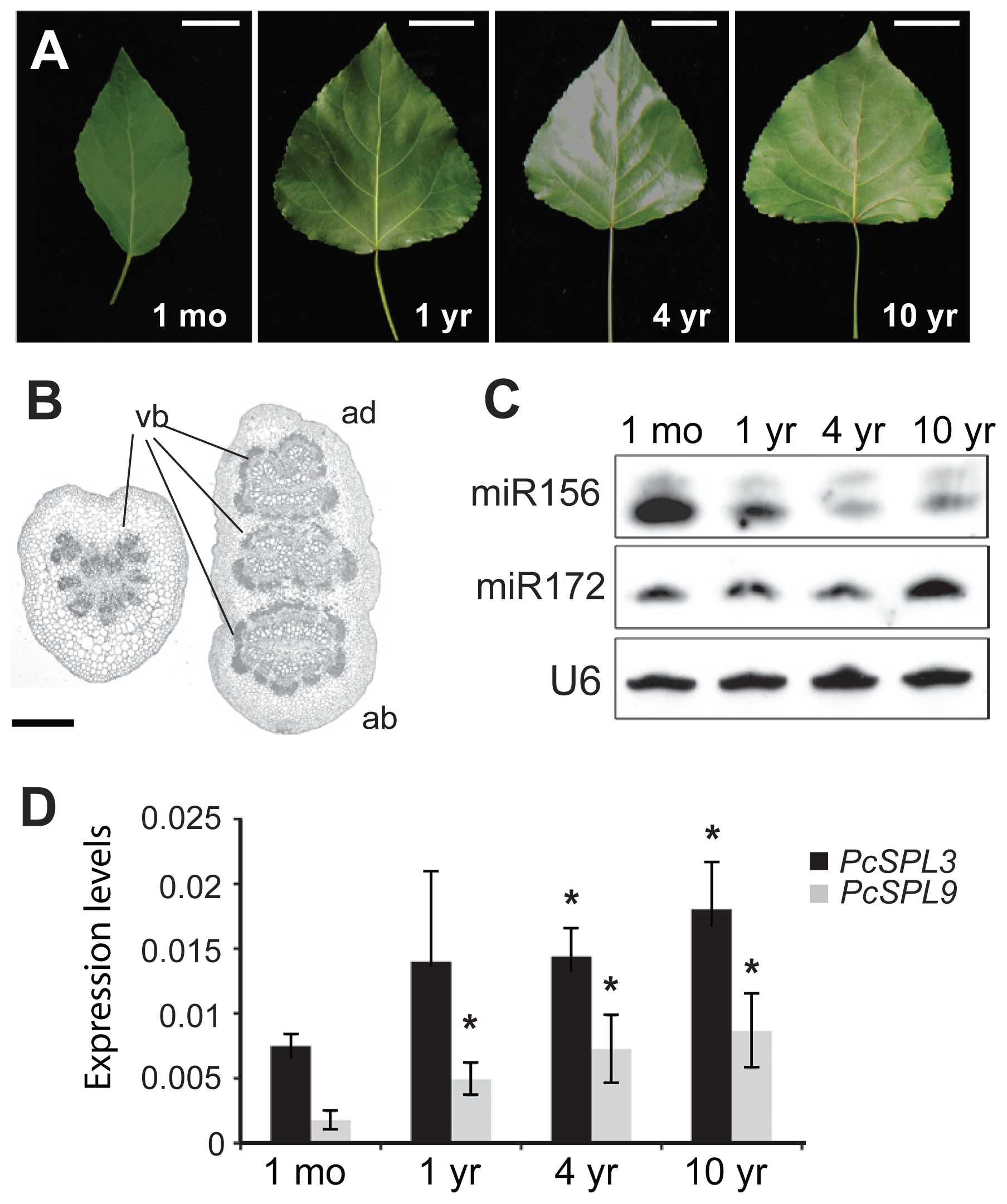 Vegetative phase change and miRNA expression in <i>P. x canadensis</i>.