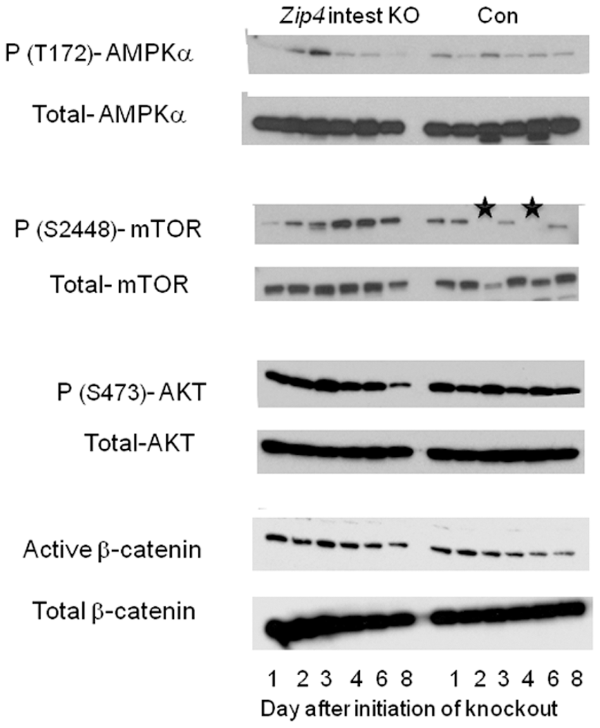Western blot analysis of phosphorylated and total AMPKα, mTOR1, AKT, and β-catenin in the liver after intestine-specific deletion of <i>Zip4</i>.
