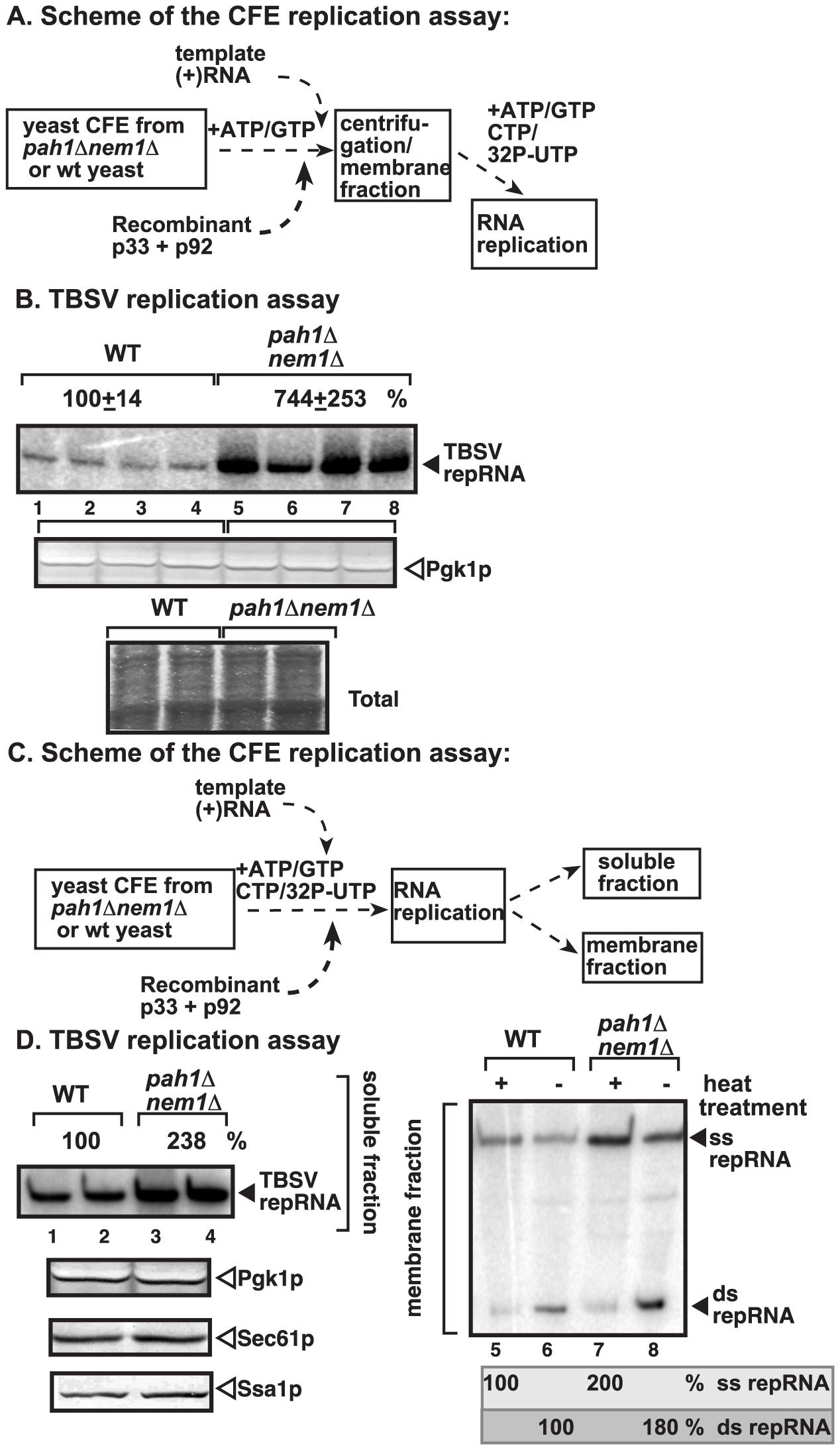 Enhanced TBSV repRNA replication in CFE prepared from <i>pah1Δ nem1Δ</i> yeast.