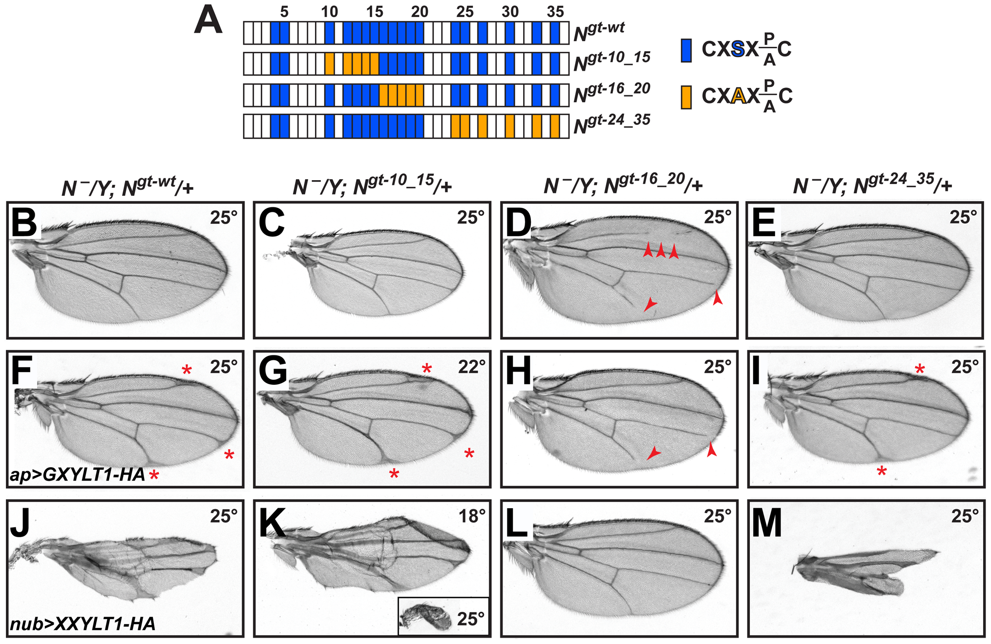 Xylosylation of EGF16–20 negatively regulates <i>Drosophila</i> Notch signaling <i>in vivo</i>.