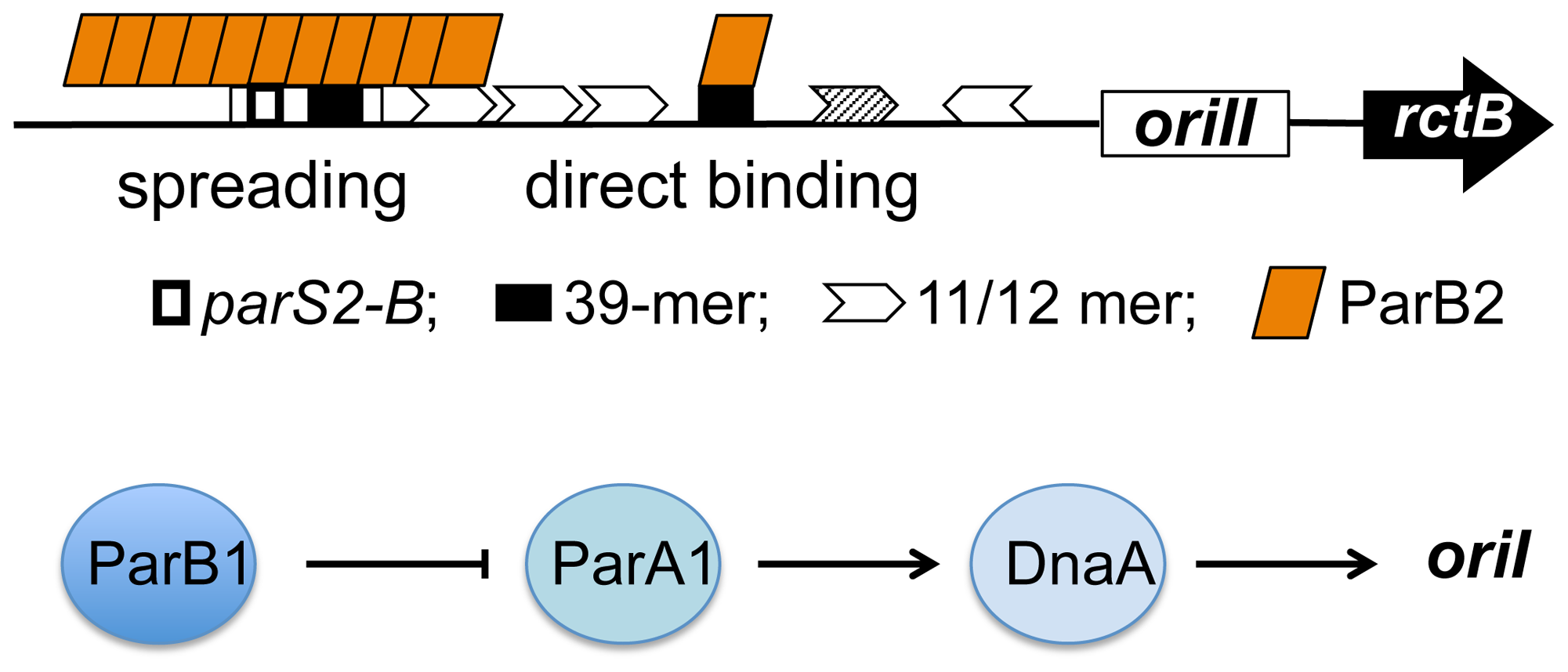 Model of activation of <i>V. cholerae</i> chromosome replication by Par proteins using multiple mechanisms.