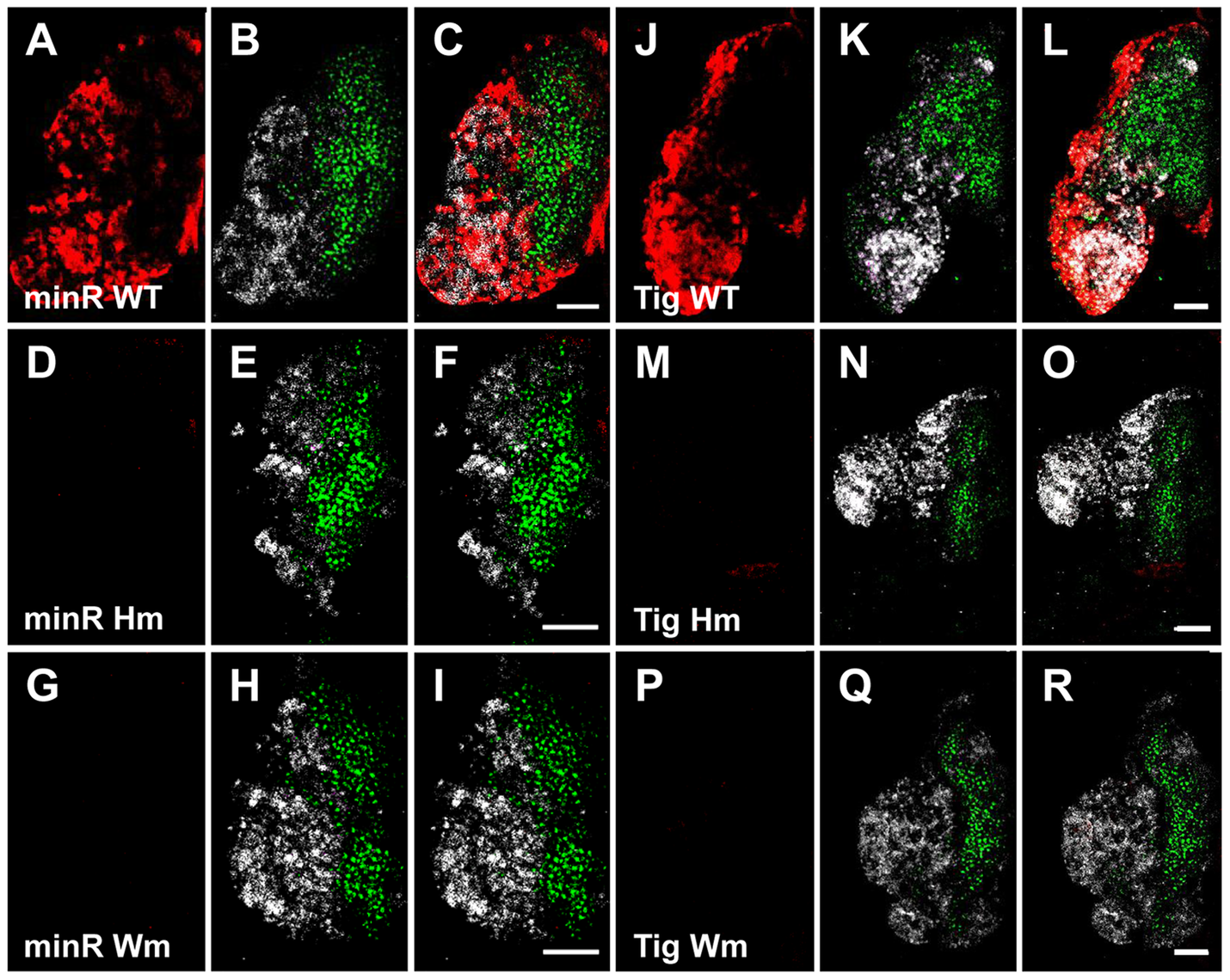 The TCF binding sites are required for expression of the <i>Tig</i> and minR reporters in the CZ of larval LG.