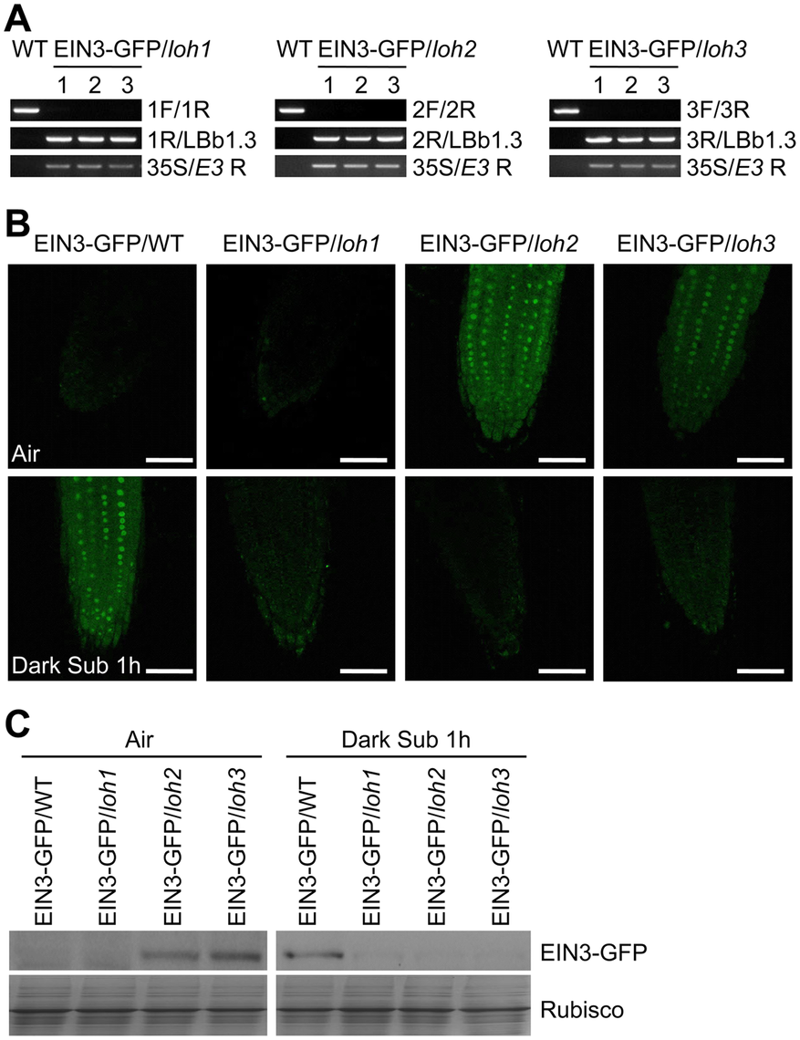 Stabilization of EIN3-GFP protein by endogenous ceramides catalyzed by ceramide synthases in the <i>loh</i> mutants.