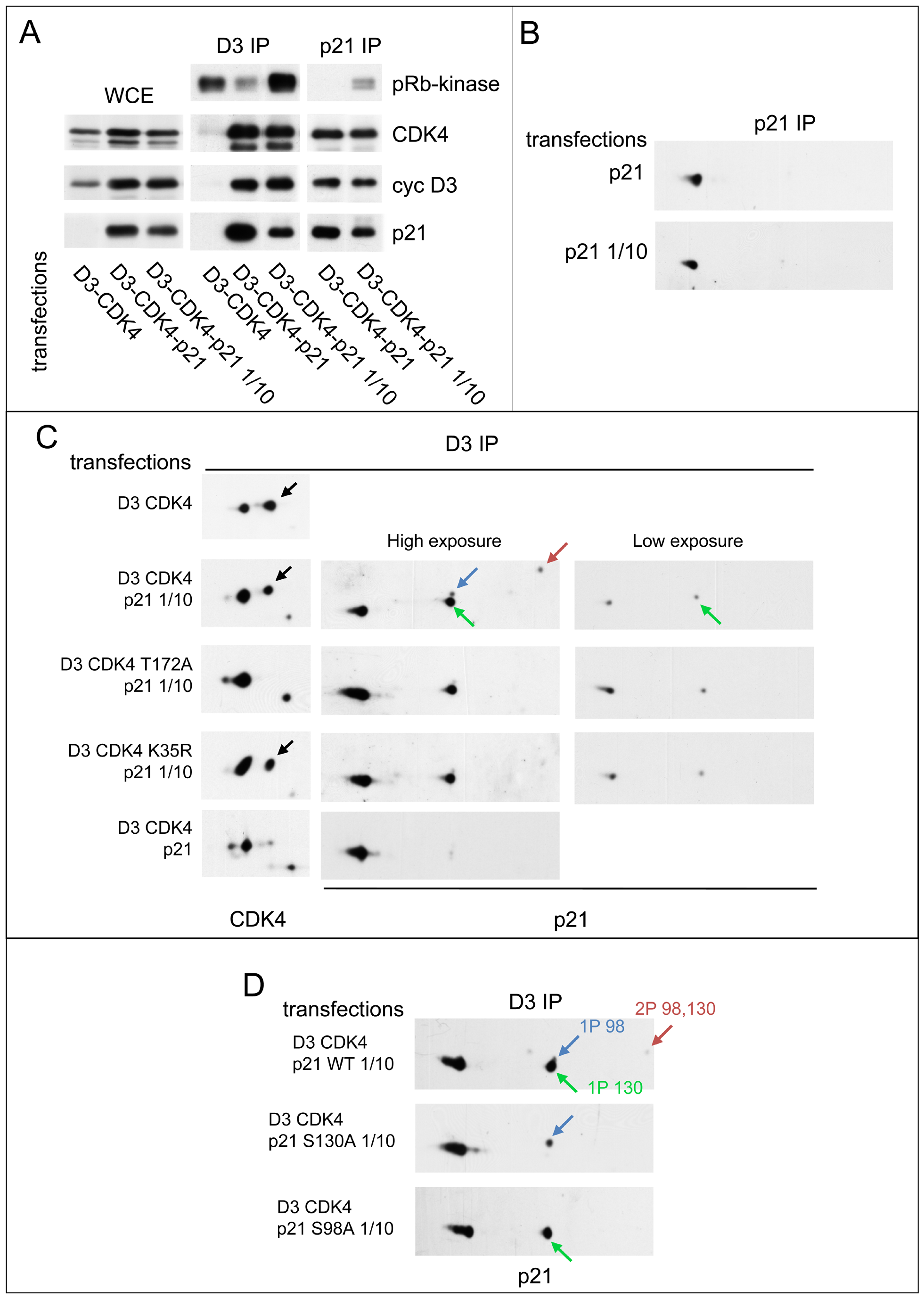 Reciprocal impacts of p21 and cyclin D3-CDK4 on T172 phosphorylation of CDK4 and S130 phosphorylation of p21 in transfected CHO cells.
