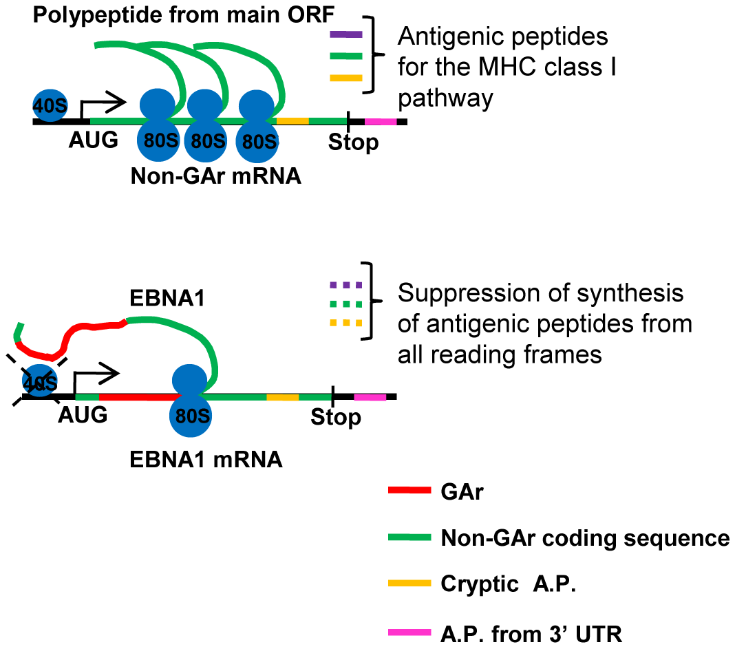Antigenic peptides (A.P.) can be derived from the main open reading frame as well as cryptic peptides from alternative reading frames (yellow) and from the 3′UTR (pink) <em class=&quot;ref&quot;>[<b>25</b>]</em>.