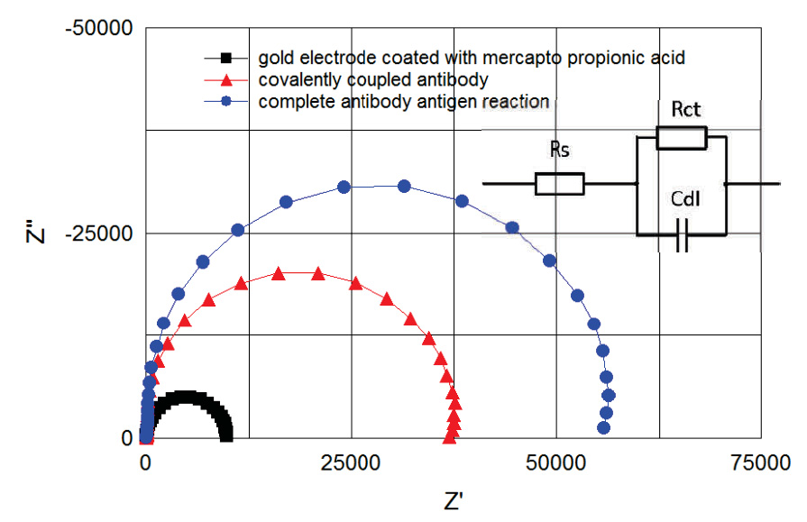 Cole-Cole plots of spectra between 100 kHz and 1 Hz. Plots correspond to the electrode coated with mercapto propionic acid (B) to covalently coupled antibody (E) and to complete antibody antigen reaction (F). Plots correspond to the steps of figure 5 and were recorded from the same measurement. Randles model for fitting the obtained curves is shown on the right.