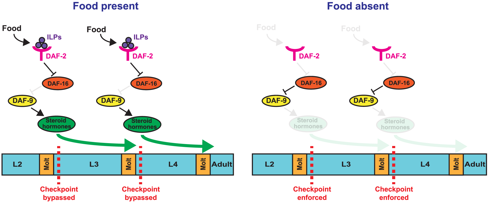 Model for nutritional regulation of L3 and L4 larval stage progressions.