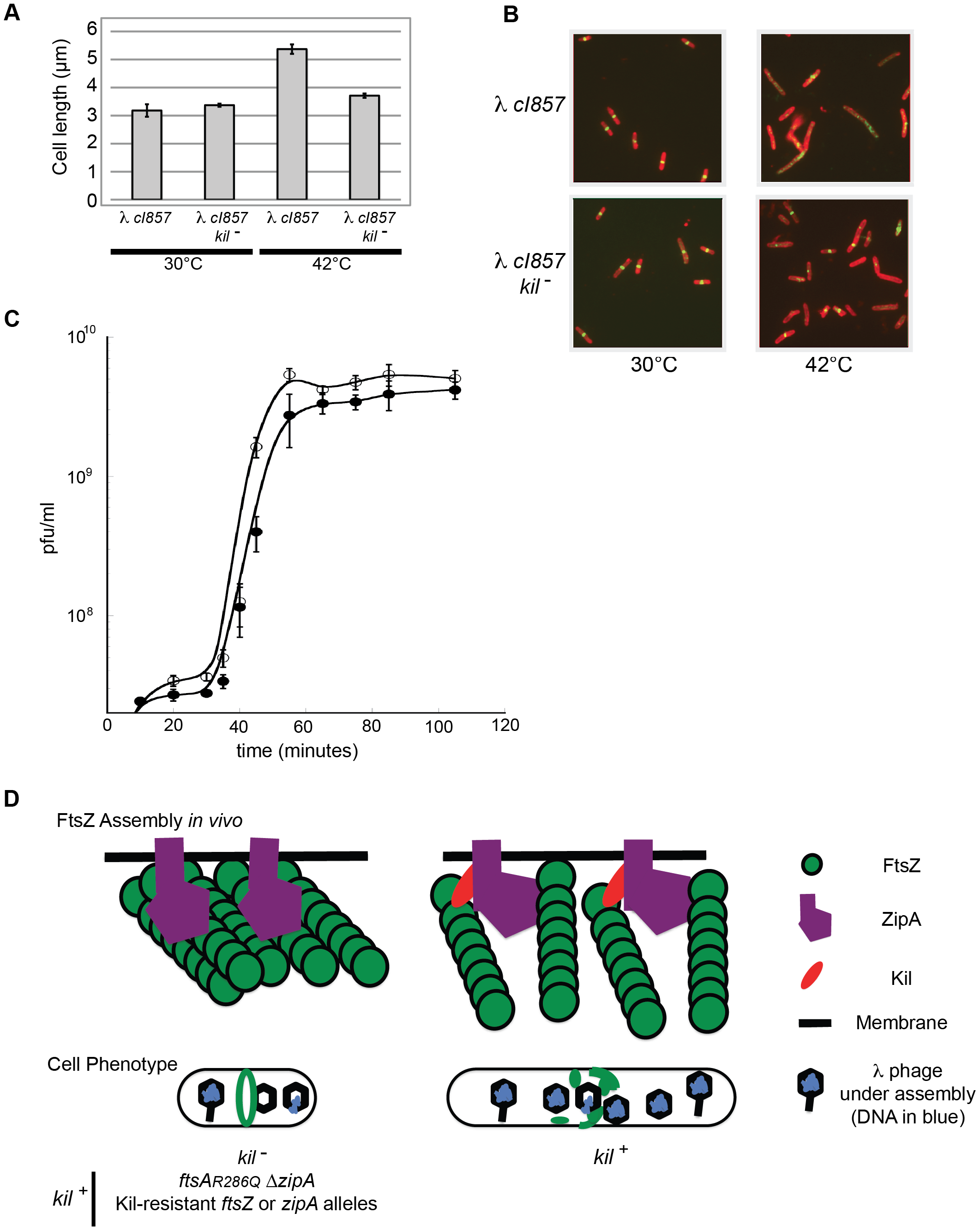 λ lysogen induction inhibits host cell division in a <i>kil</i>-dependent manner.