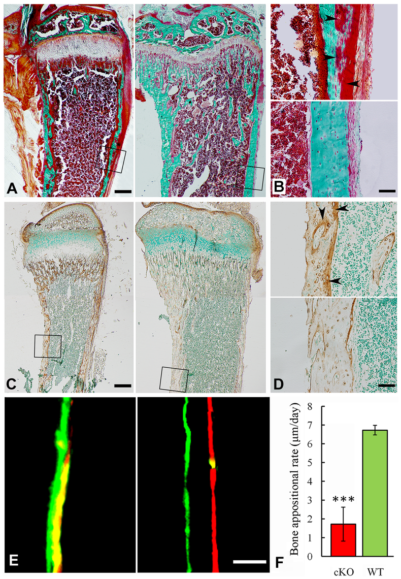 Reduced mineralization level in the <i>Sox2-Cre-Fam20c</i>-cKO mice.